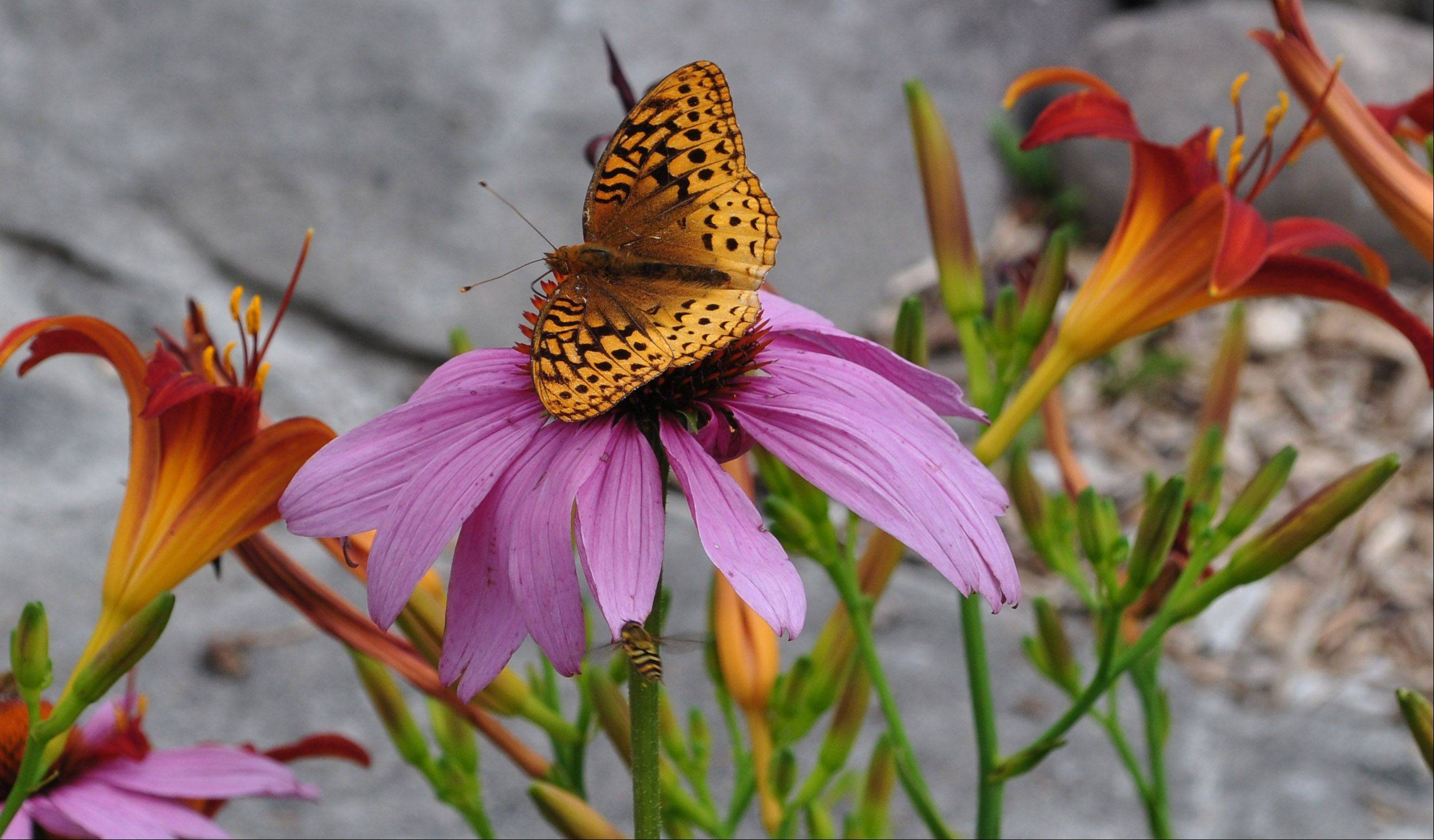 A butterfly travels from flower to flower in the Adirondacks near Lake Placid in New York last year.