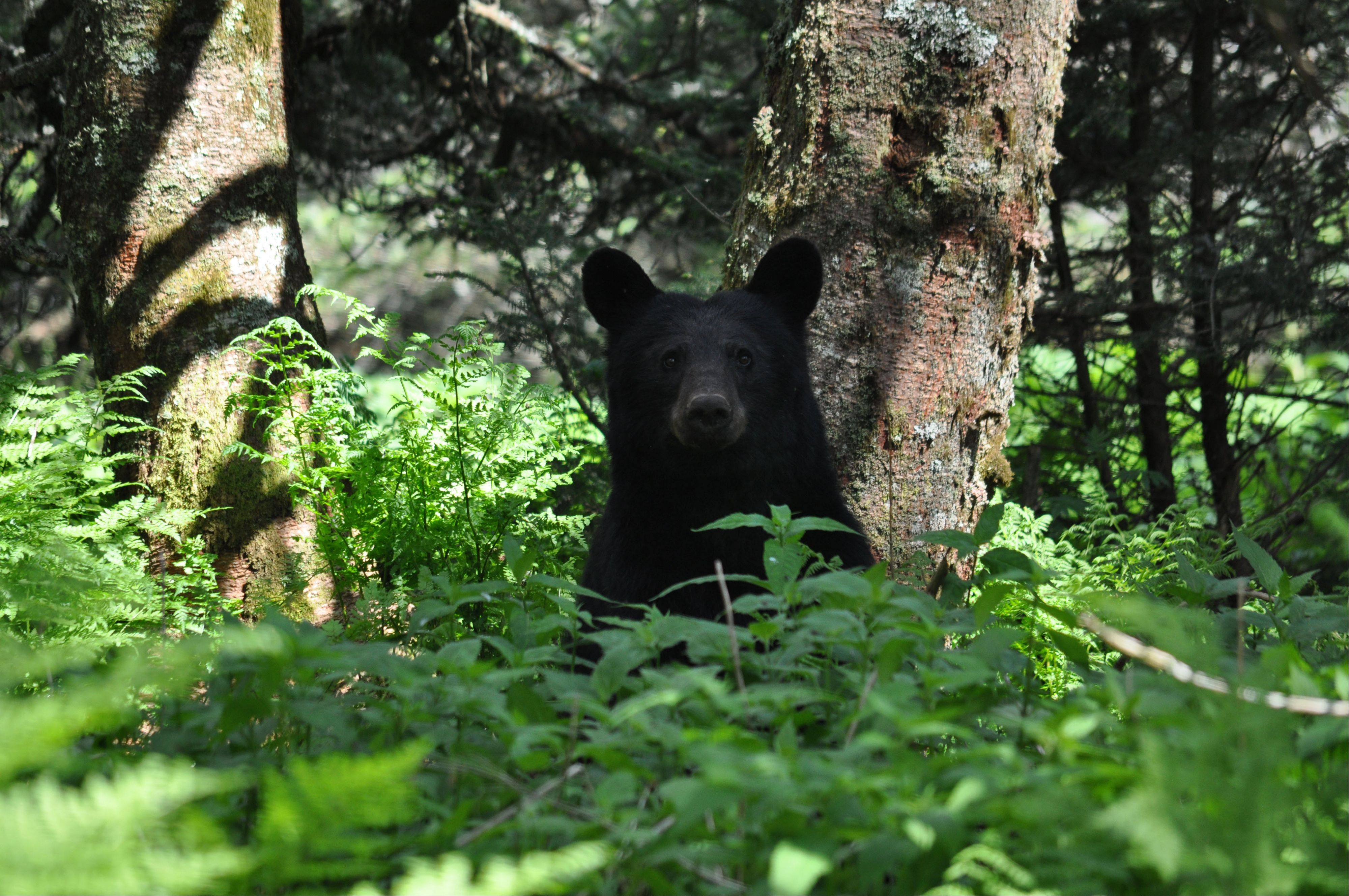 I took this picture June 15th, 2013, in The Great Smokey Mountain National Park while hiking the Appalachian Trail on Clingman�s Dome. As you may be able to tell from the bear�s expression I believe we were both surprised to see each other.