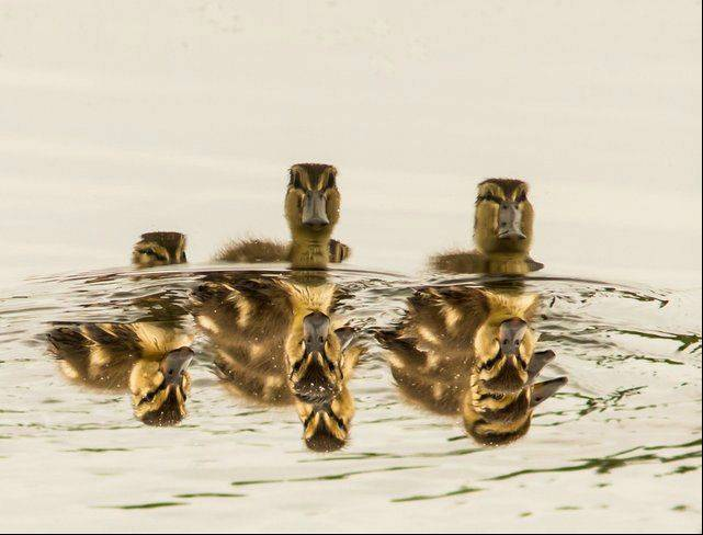 Some times you need to look for the picture with in the picture. This photo started out as a nice reflection shot of a flock of ducklings, but when I rotated it 180 degrees, it turned into a better shot of 3 not so happy ducklings coming over the crest of a wave.