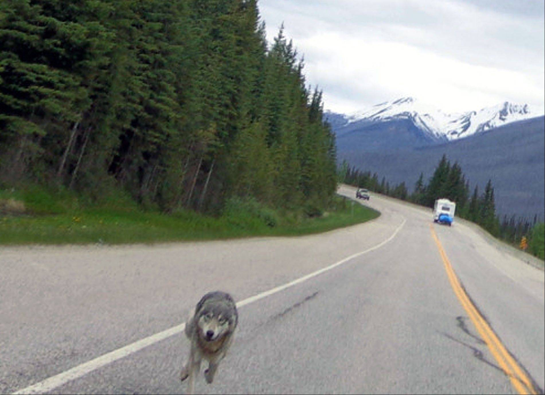 A wolf chases Tim Bartlett�s motorcycle down Highway 93 in Kootenay National Park highway in British Columbia, Canada.
