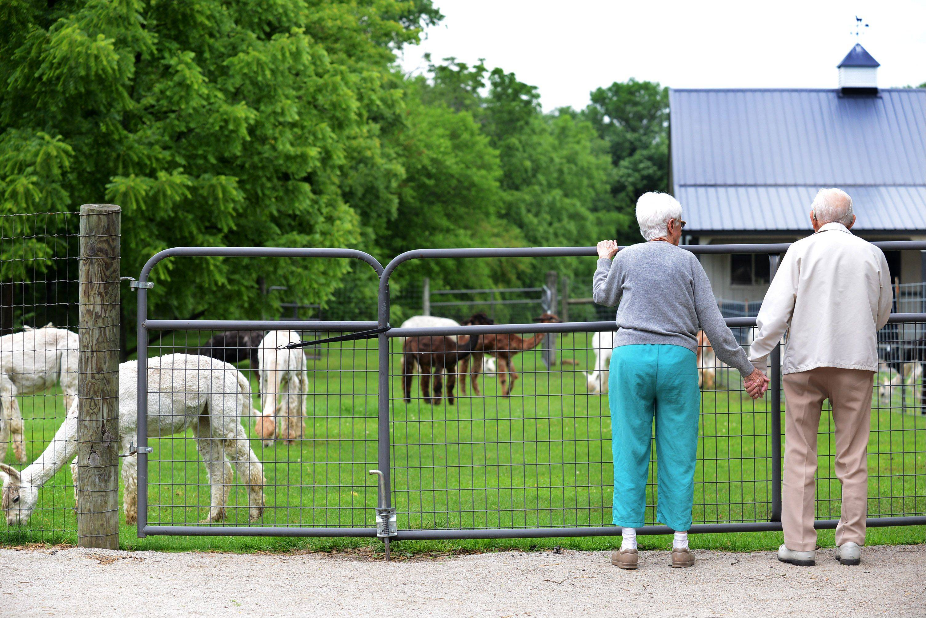 Enda and Lloyd Allison enjoy the Waldron Grove Alpaca Farm open house Saturday in Campton Hills.