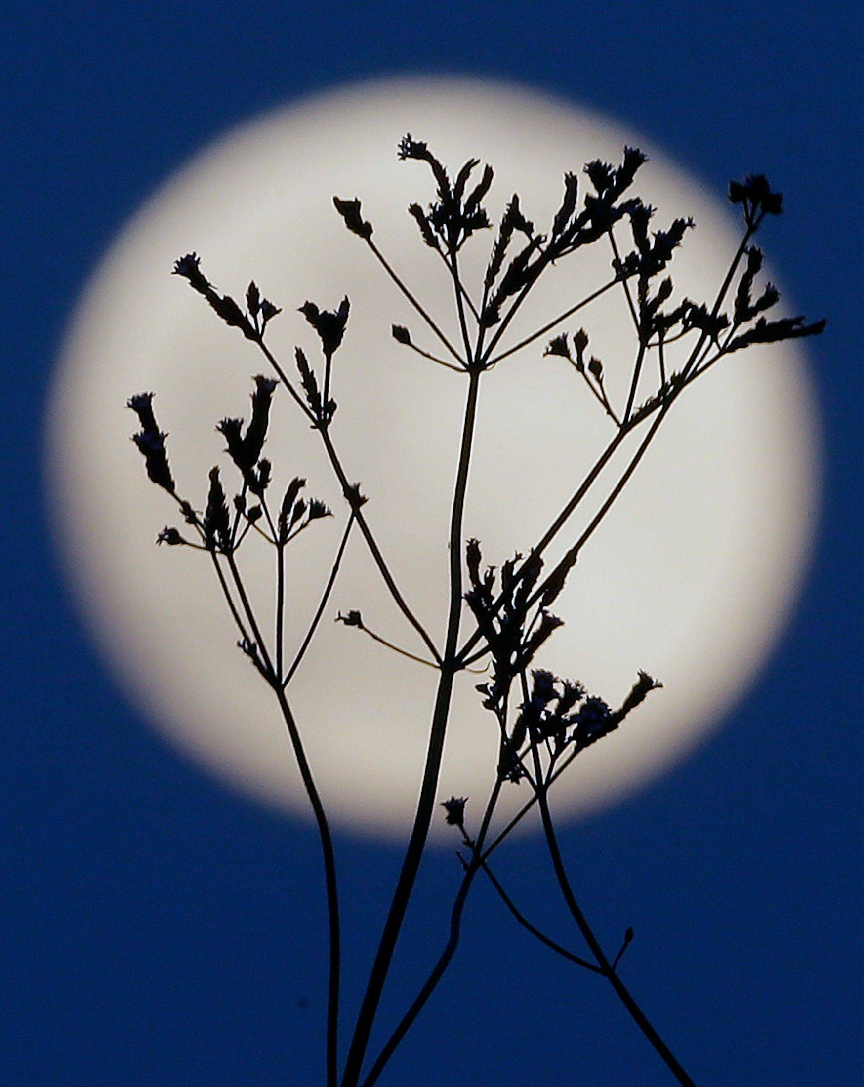A �supermoon� rises behind roadside plants growing in Prattville, Ala., Saturday, June 22, 2013. The biggest and brightest full moon of the year graces the sky early Sunday as our celestial neighbor swings closer to Earth than usual. While the moon will appear 14 percent larger than normal, sky watchers won�t be able to notice the difference with the naked eye. Still, astronomers say it�s worth looking up and appreciating the cosmos.