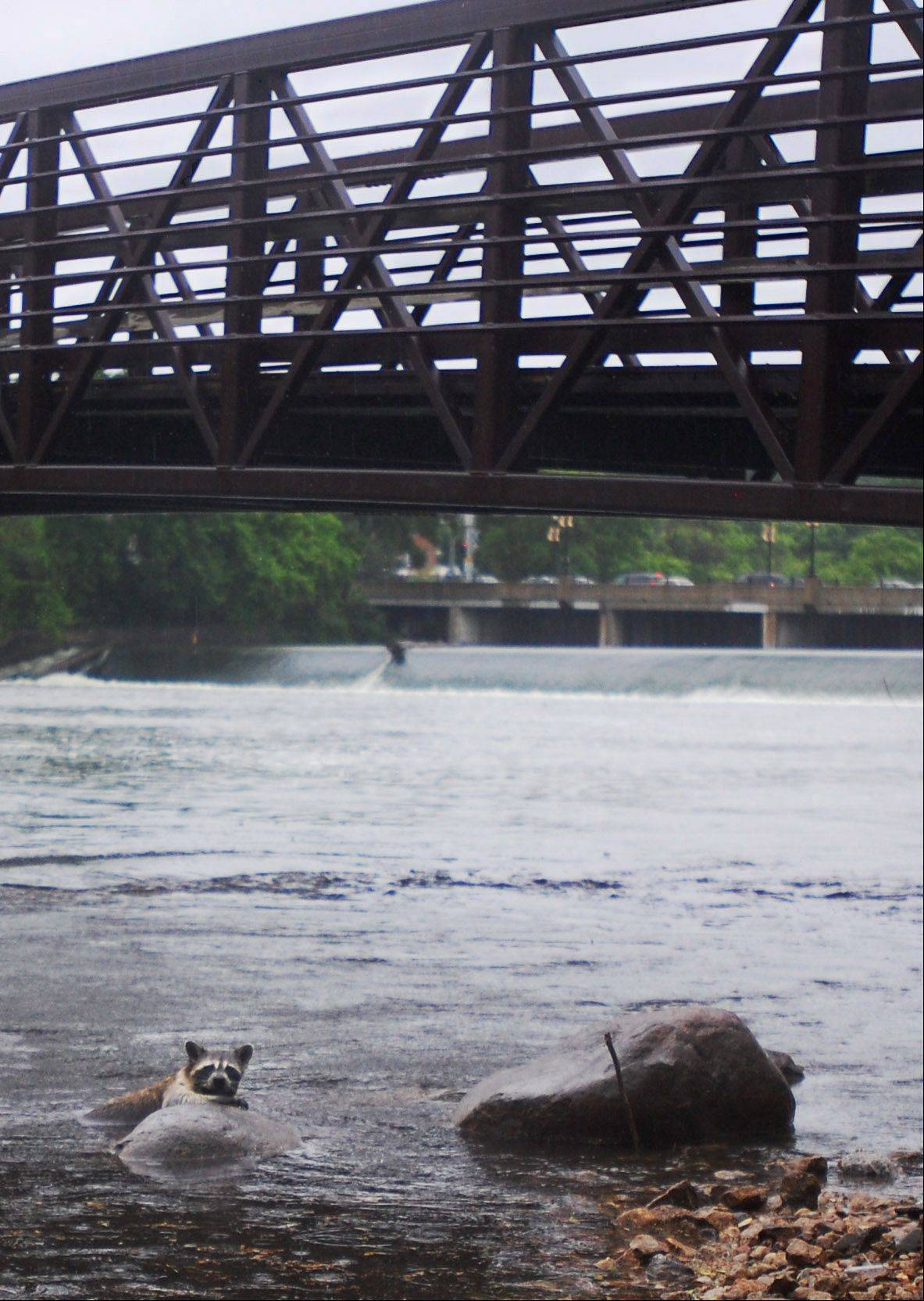 A raccoon swims for shore on the Fox River in downtown Elgin after a sudden downpour on Friday.