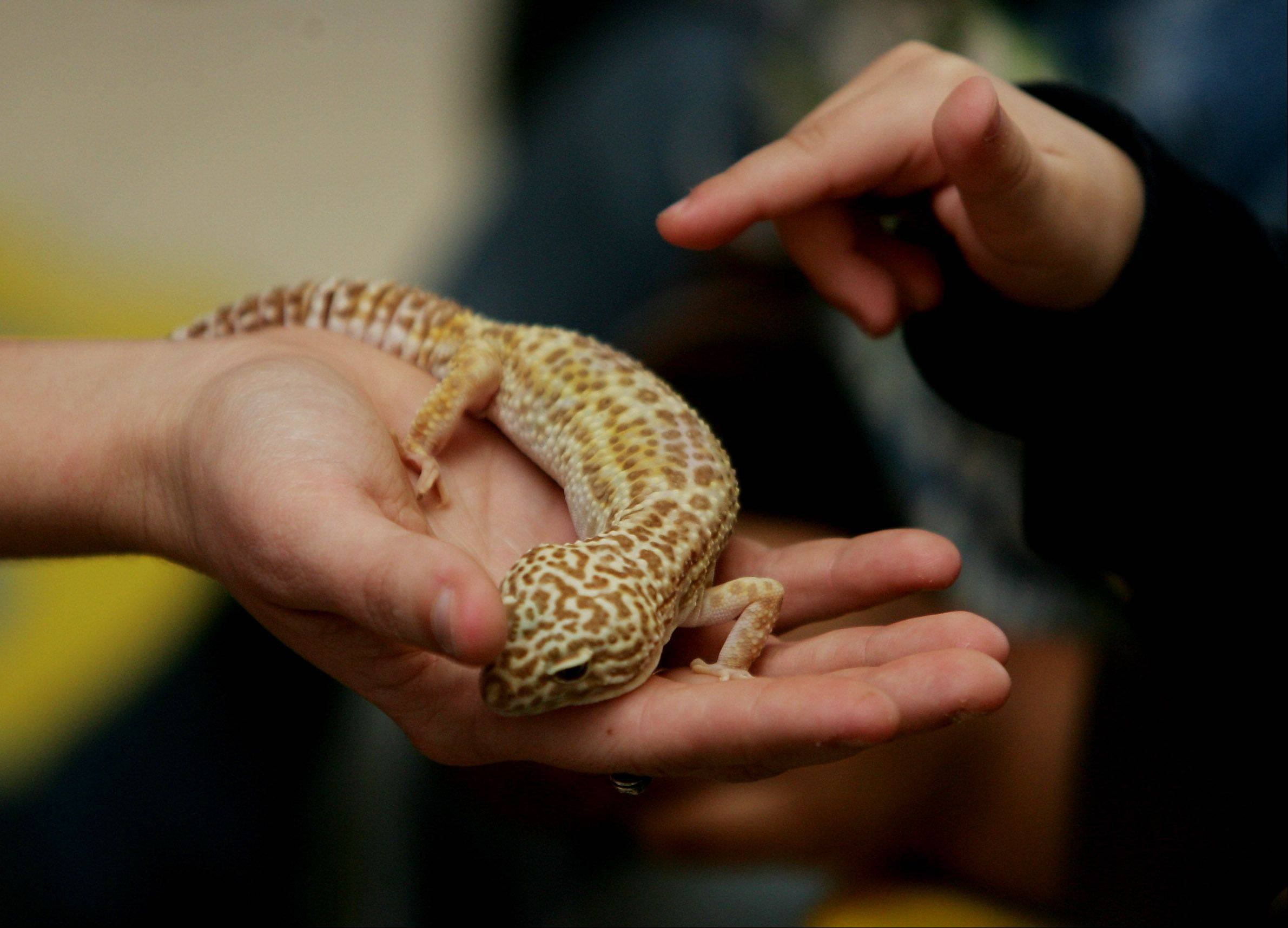 What makes a leopard gecko a good pet? Find out at Repticon Chicagoland, which takes place this weekend in St. Charles.