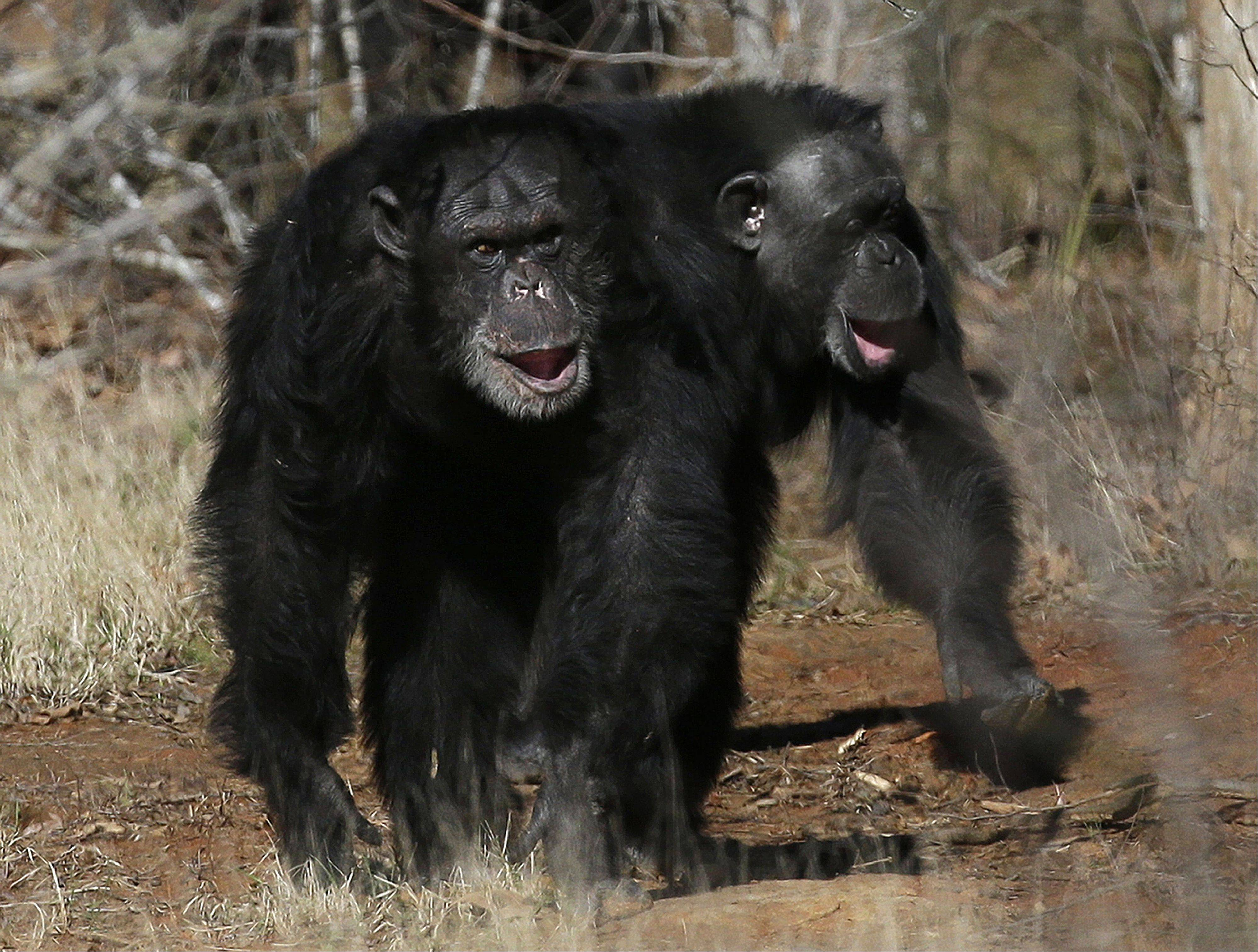 Two chimps walking together at Chimp Haven in Keithville, La. The government is about to retire most of the chimpanzees who've spent their lives in U.S. research labs.