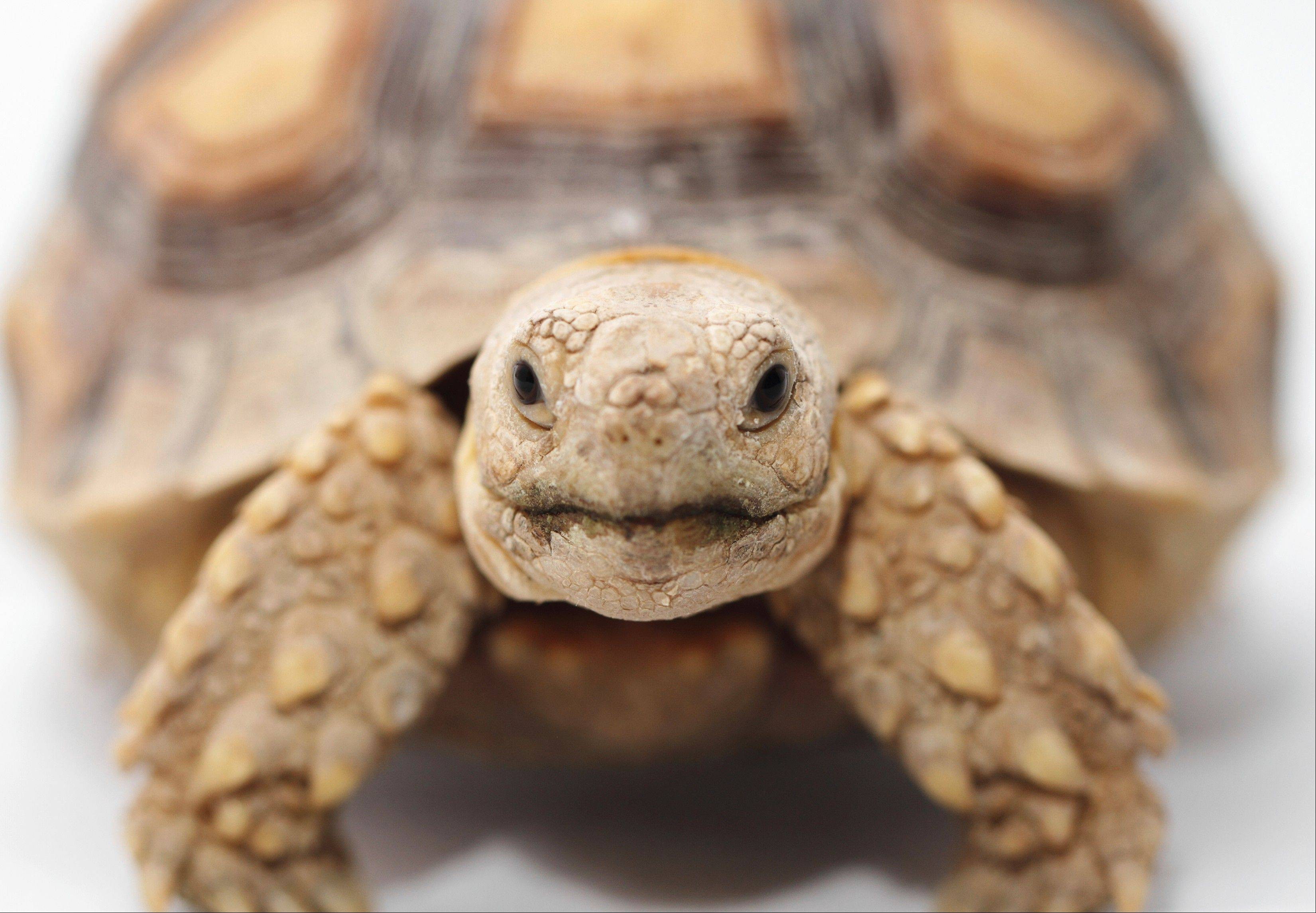 See a variety of reptiles, amphibians and exotic animals at Chicagoland Repticon, running June 29-30 at the Kane County Fairgrounds.