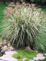 Art in the garden ornamental grasses add texture to the for Short variegated grass