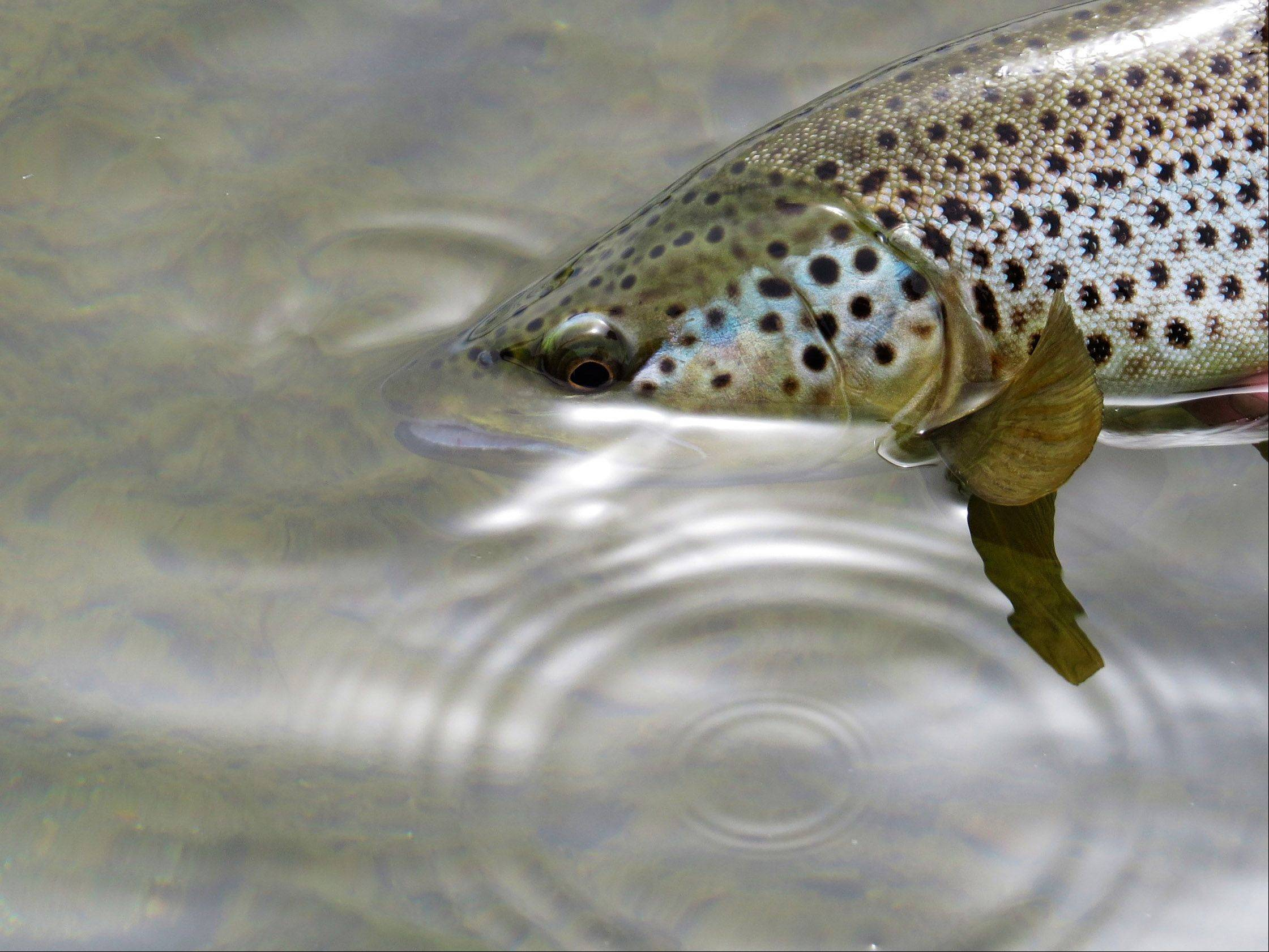 A brown trout is released after it was caught on the fly on the Missouri River near Craig, Montana last week.