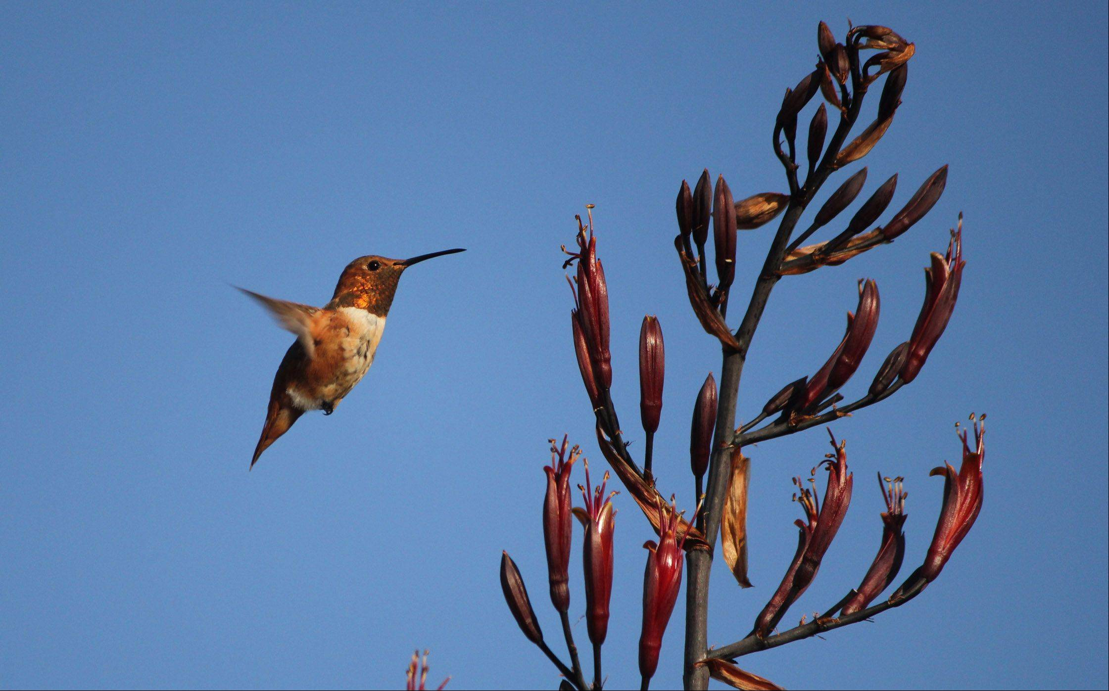 A Rufous hummingbird approaches a flowering plant to feed in Yorba Linda, California on June 12.