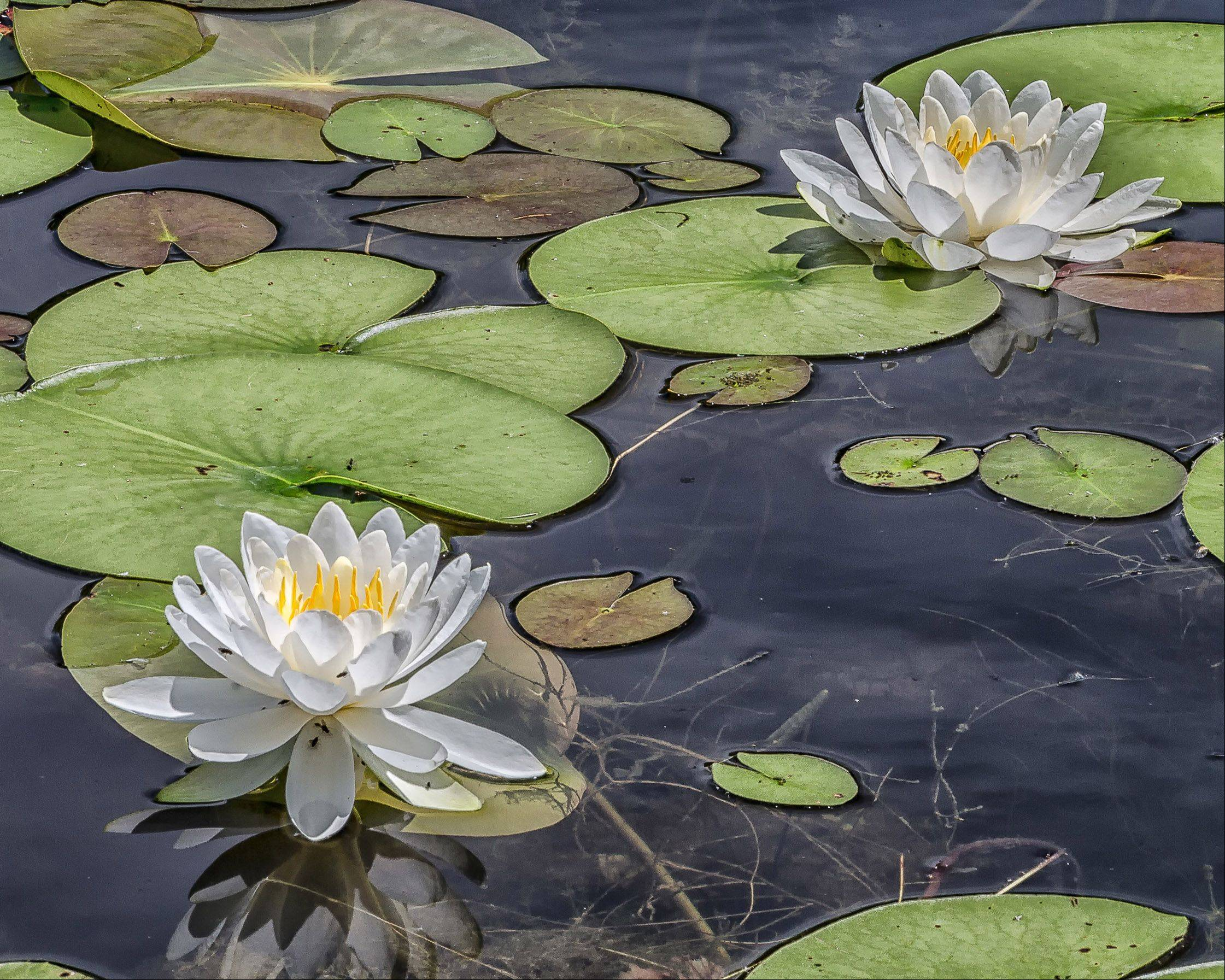 Lily pads in the Grant Woods Forest Preserve pond last week.