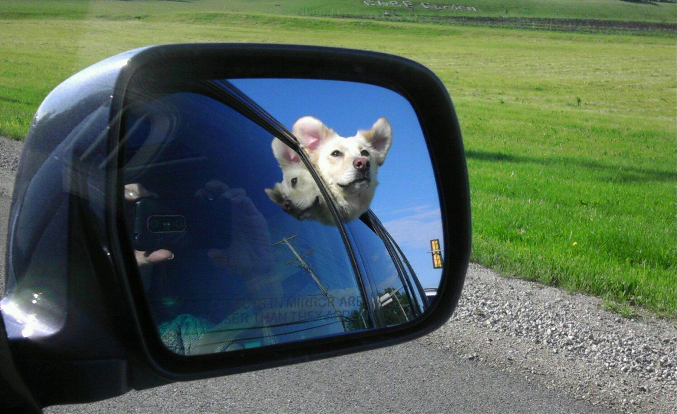 Rescue dog, Rosie, is reflected in a car mirror as she comes home for the first time on June 6.