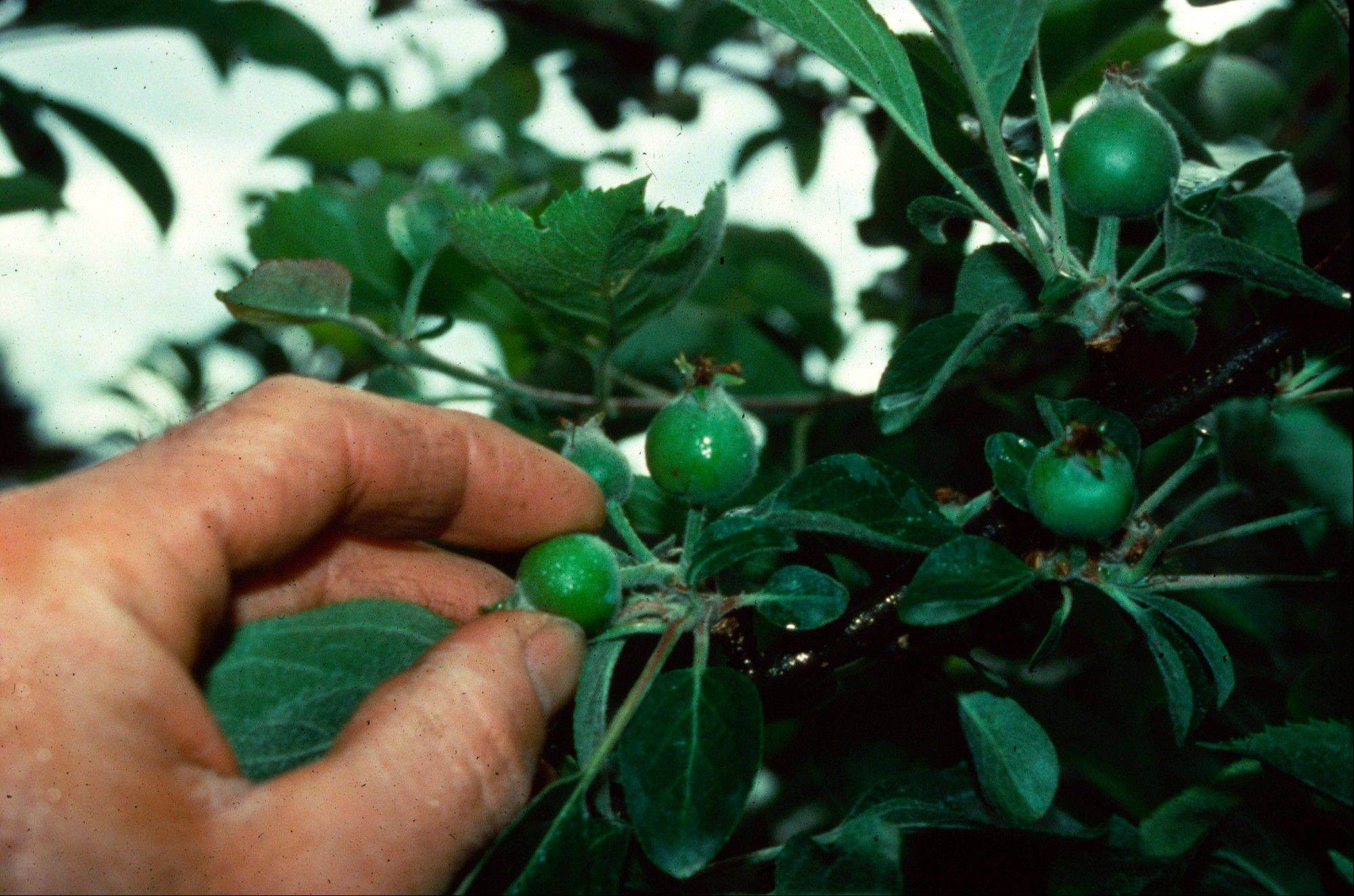 "Now is the time to start looking over your trees and ""thinning,"" that is, removing, excess fruitlets."
