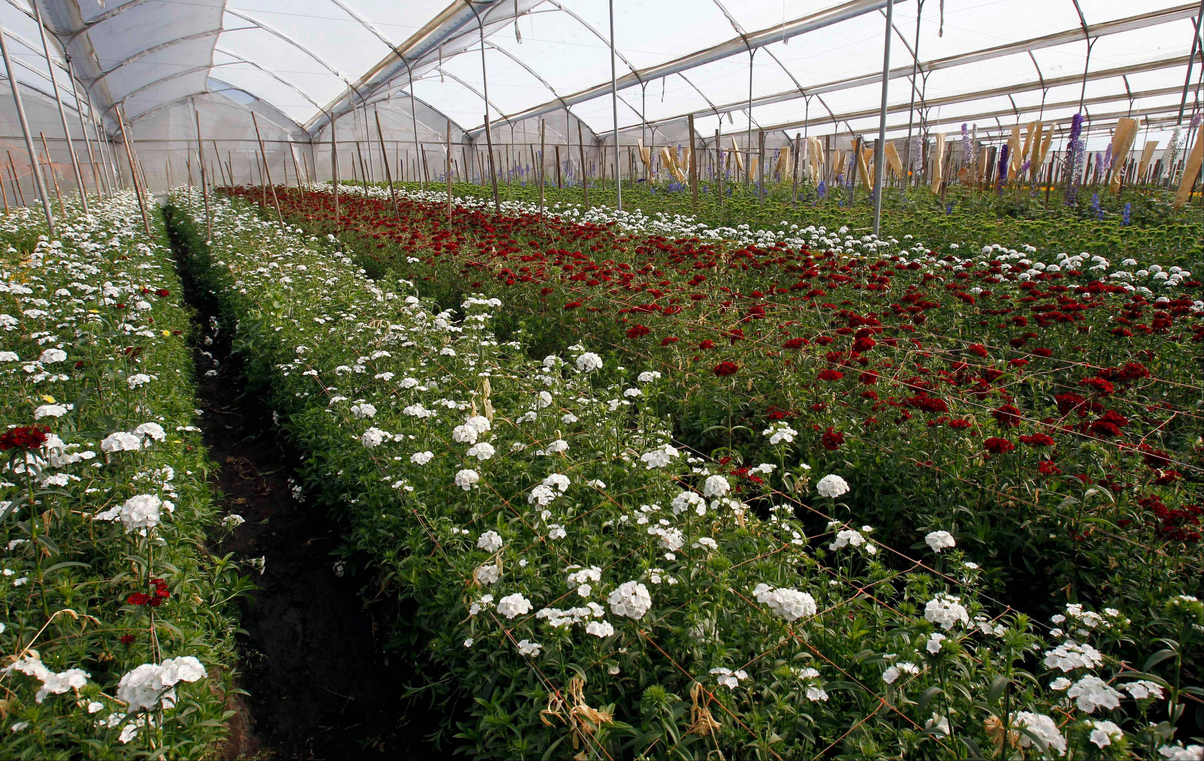 Ecuadorean flower growers in Snowden shock