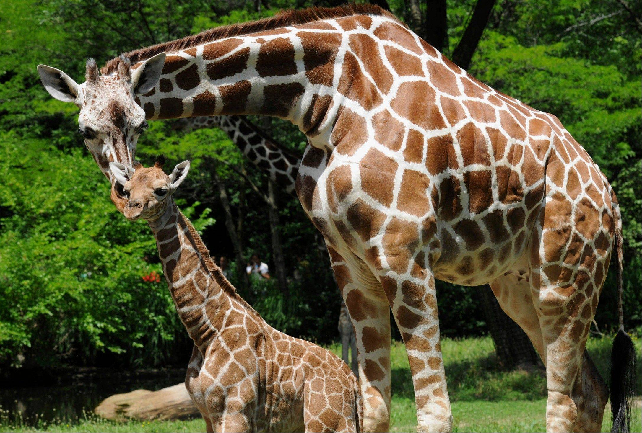 In this June 27, 2013 photo provided by the Chicago Zoological Society, a male giraffe, born June 21, gets the attention of his mother, 7 1/2-year-old Jasiri, at the Brookfield Zoo�s Habitat Africa! The Savannah exhibit. The male calf is her first birth � and experts say he could grow to 18-feet-tall. He�s the 59th giraffe born at the zoo.
