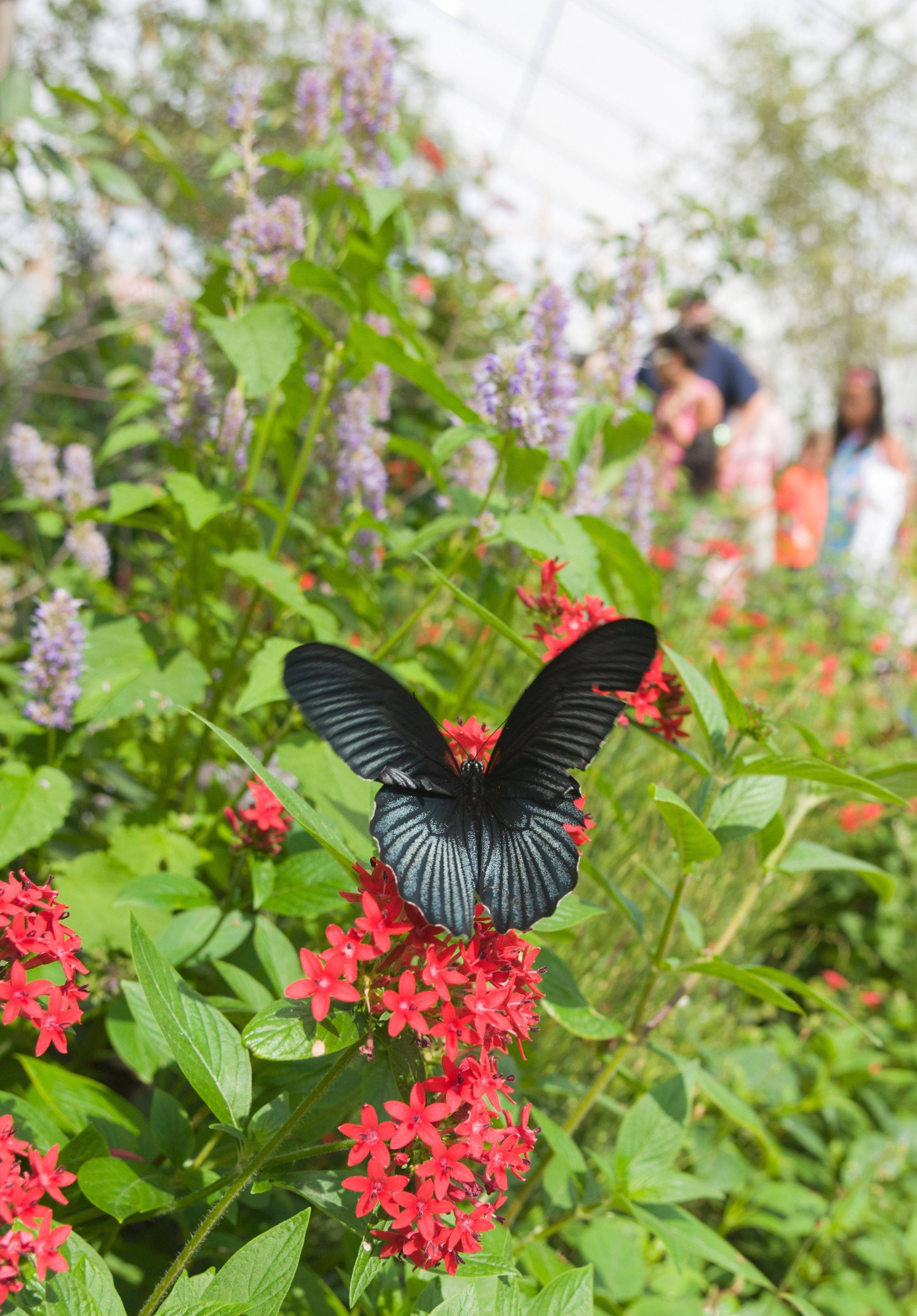 About 500 butterflies from around the world are around an any given time during the Chicago Botanic Garden's Butterflies & Blooms exhibit, open through Sept. 2.