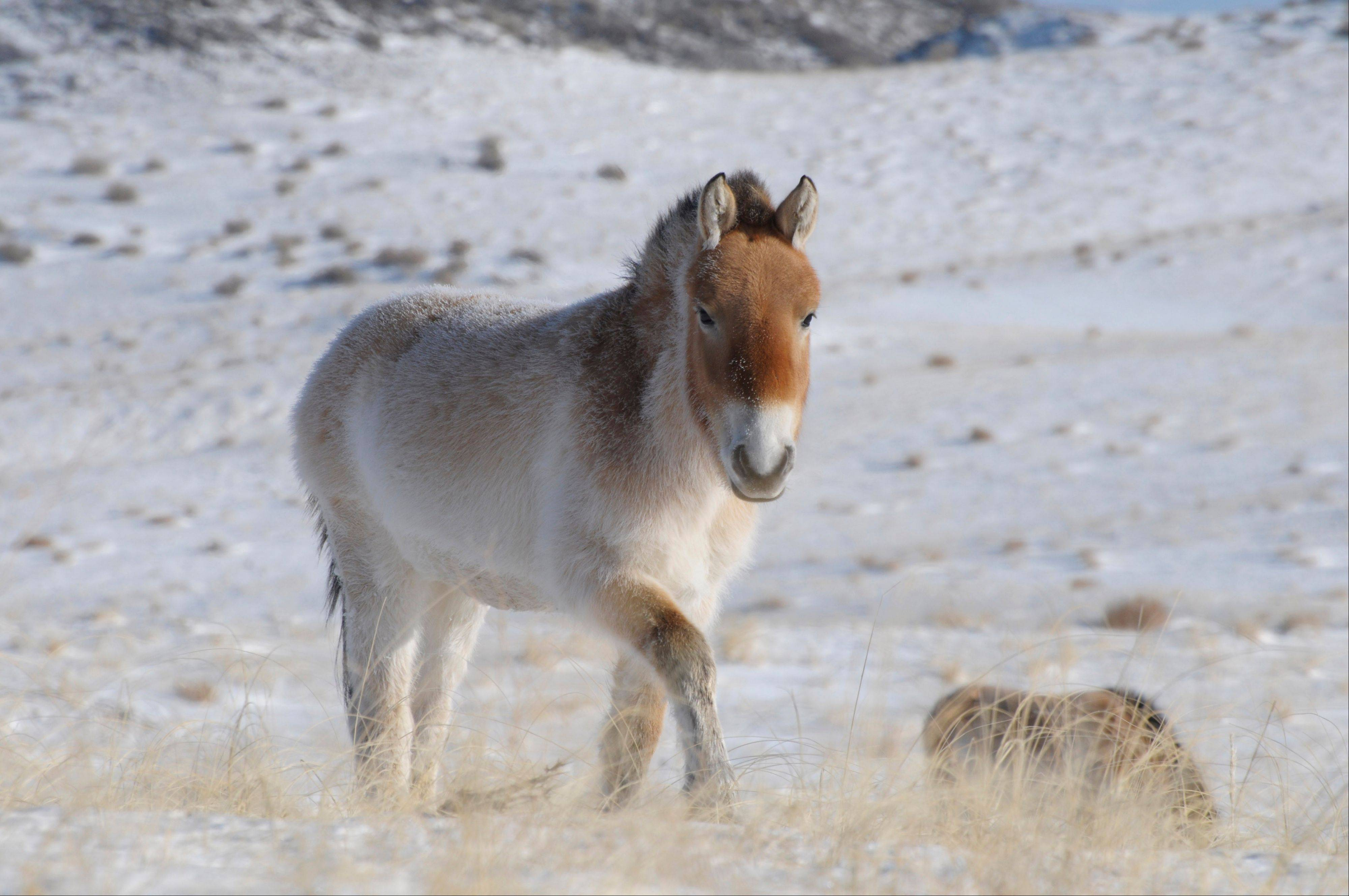 In this January 2010 photo provided by the journal Nature via Przewalski's Horse Association, a Przewalski's horse is shown in Khomyntal, western Mongolia, in one of three reintroduction sites. From a tiny fossil bone found in the frozen Yukon, scientists have deciphered the genetic code of an ancient horse about 700,000 years old — nearly 10 times older than any other animal that has had its genome mapped. The researchers also found new evidence that the endangered Przewalski's horse, found in Mongolia and China, is the last surviving wild horse.