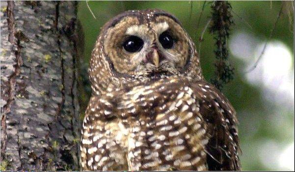 Curry County, with heavily wooded tracts along the rugged Oregon coast, is verging on insolvency after U.S. officials designated the northern spotted owl as a threatened species, drying up area timber revenue and making the region reliant on federal subsidies that have ended.