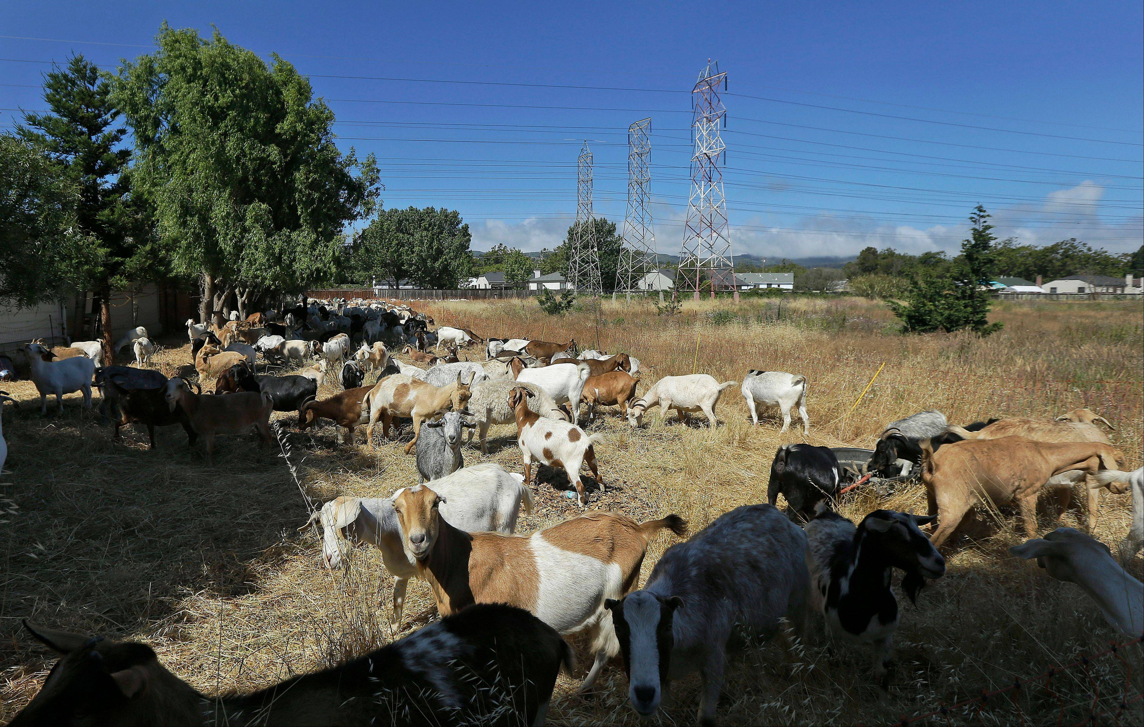 In this Wednesday, June 19, 2013, photo, goats graze on a patch of San Francisco International Airport land in San Francisco. San Francisco airport is using 400 goats to clear from an area of the airport prone to fire. (AP Photo/Jeff Chiu)