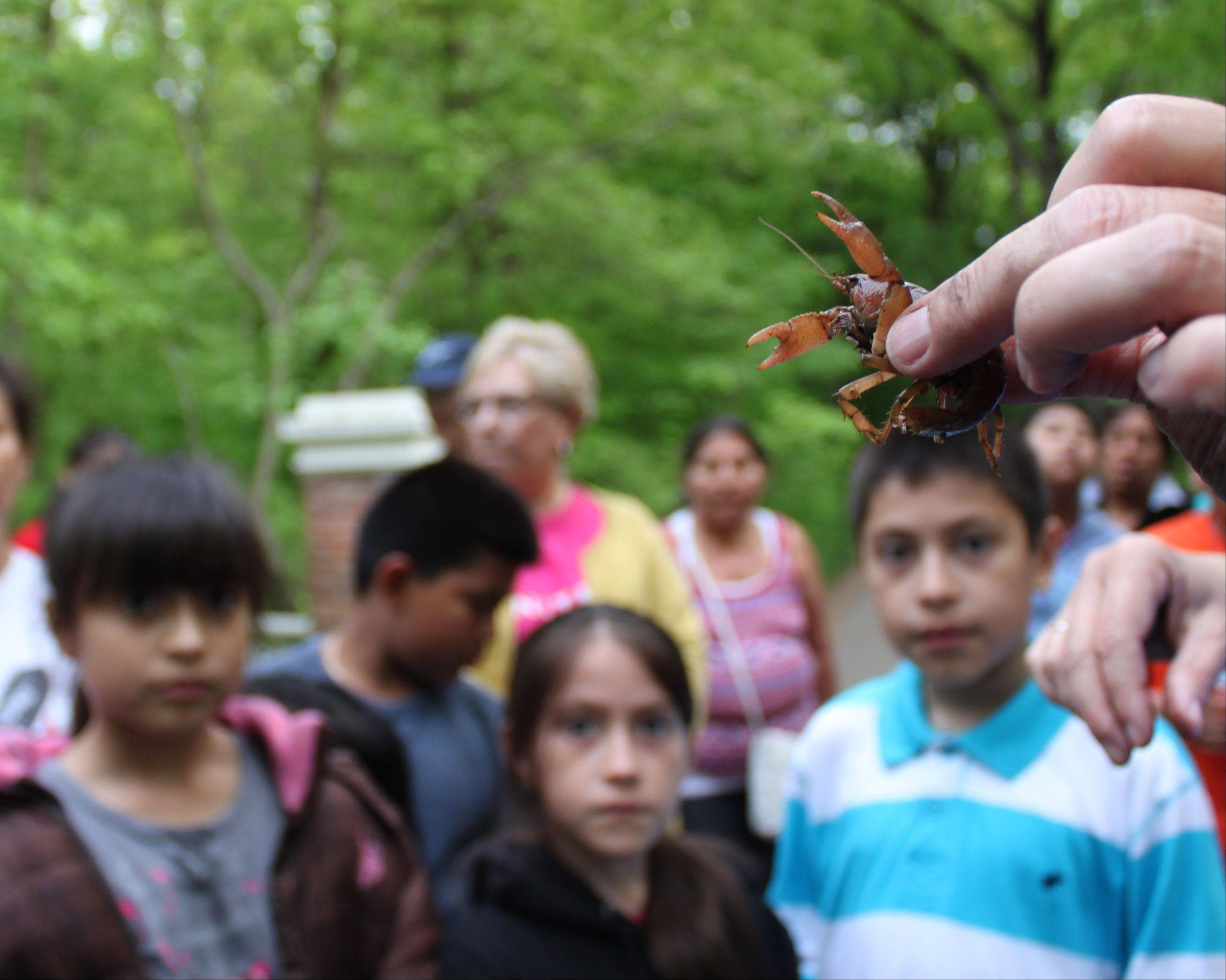 Participants in one of the Friends of Ryerson Woods' free guided bilingual nature hikes get an up-close view of a crawfish. The hikes are sponsored by Friends of Ryerson Woods and Lake County Forest Preserve District with help from several community partners.
