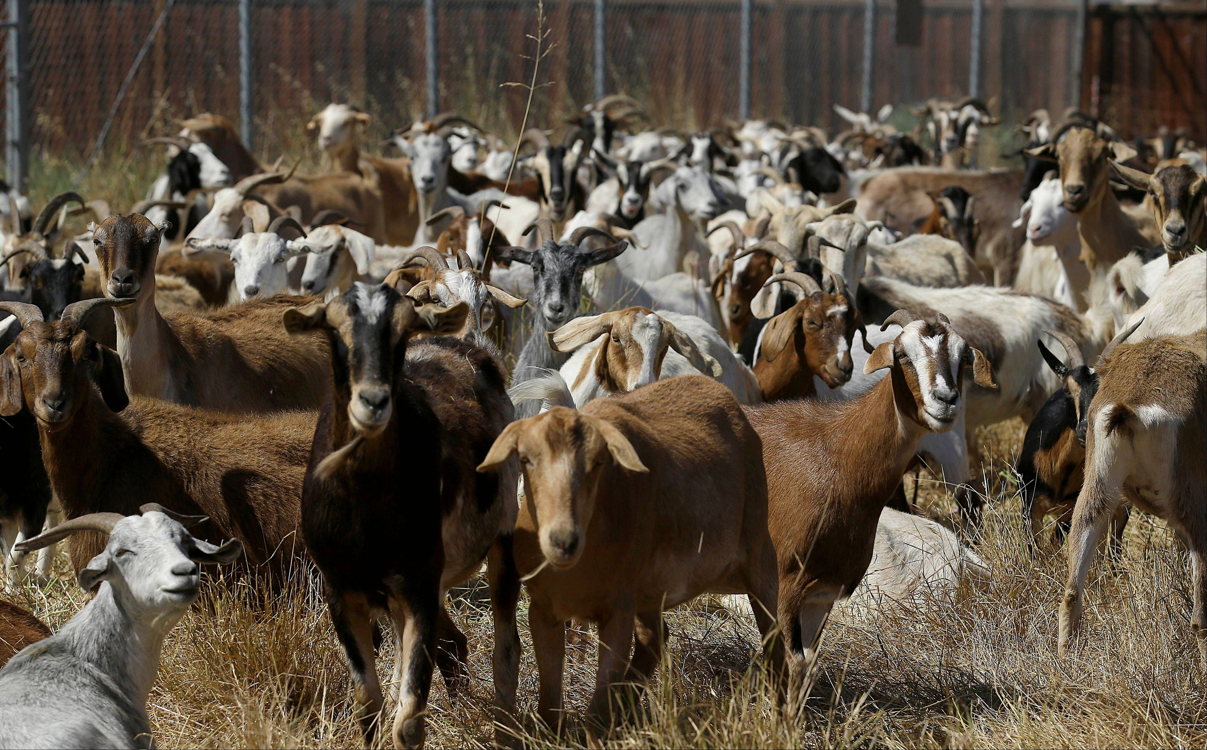In this photo taken on Wednesday, June 19, 2013, goats graze on a patch of San Francisco International Airport land in San Francisco. San Francisco airport is using 400 goats to clear from an area of the airport prone to fire.