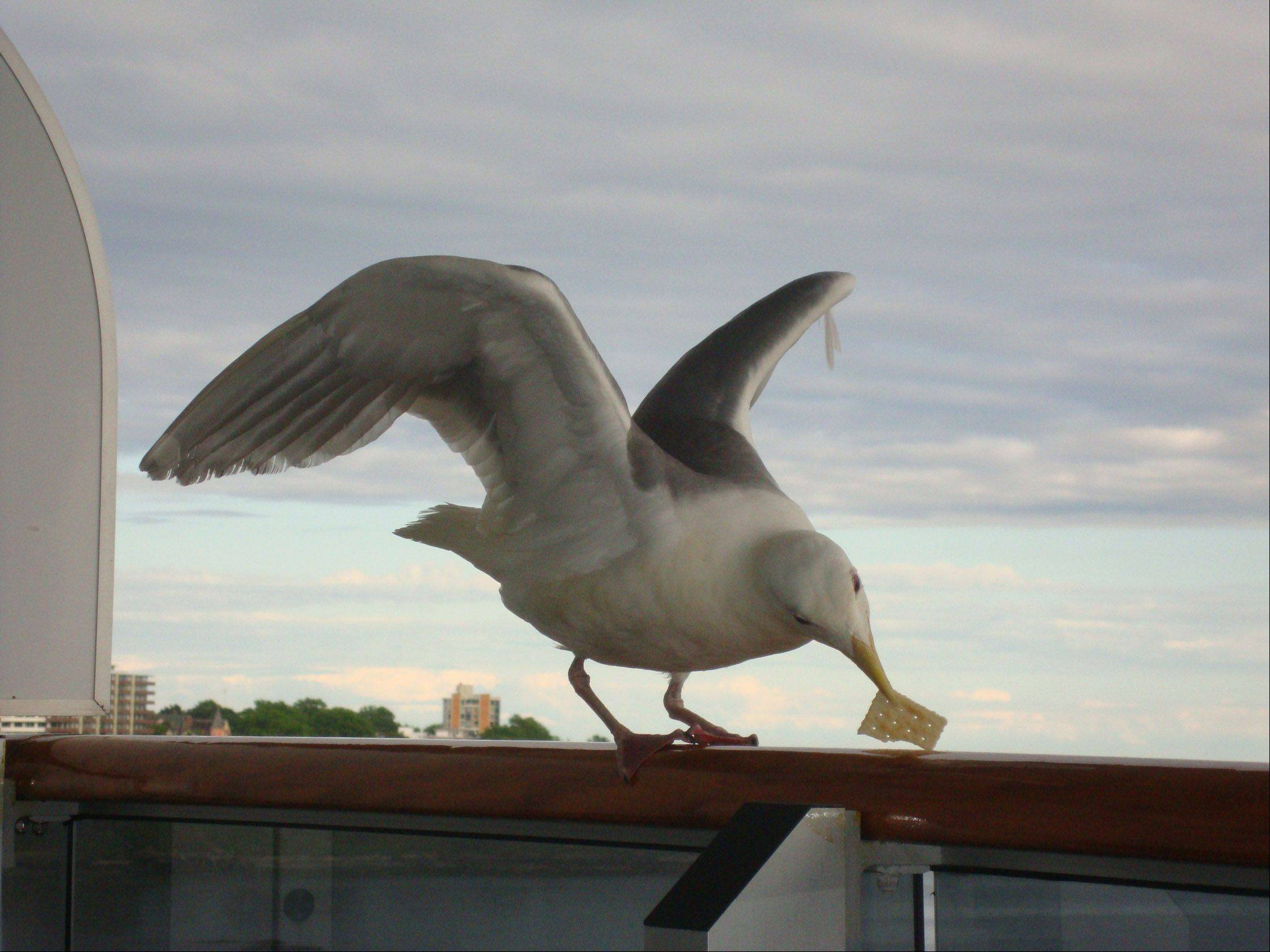 A gull eats a cracker on a cruise ship balcony in Victoria, British Columbia on June 1.