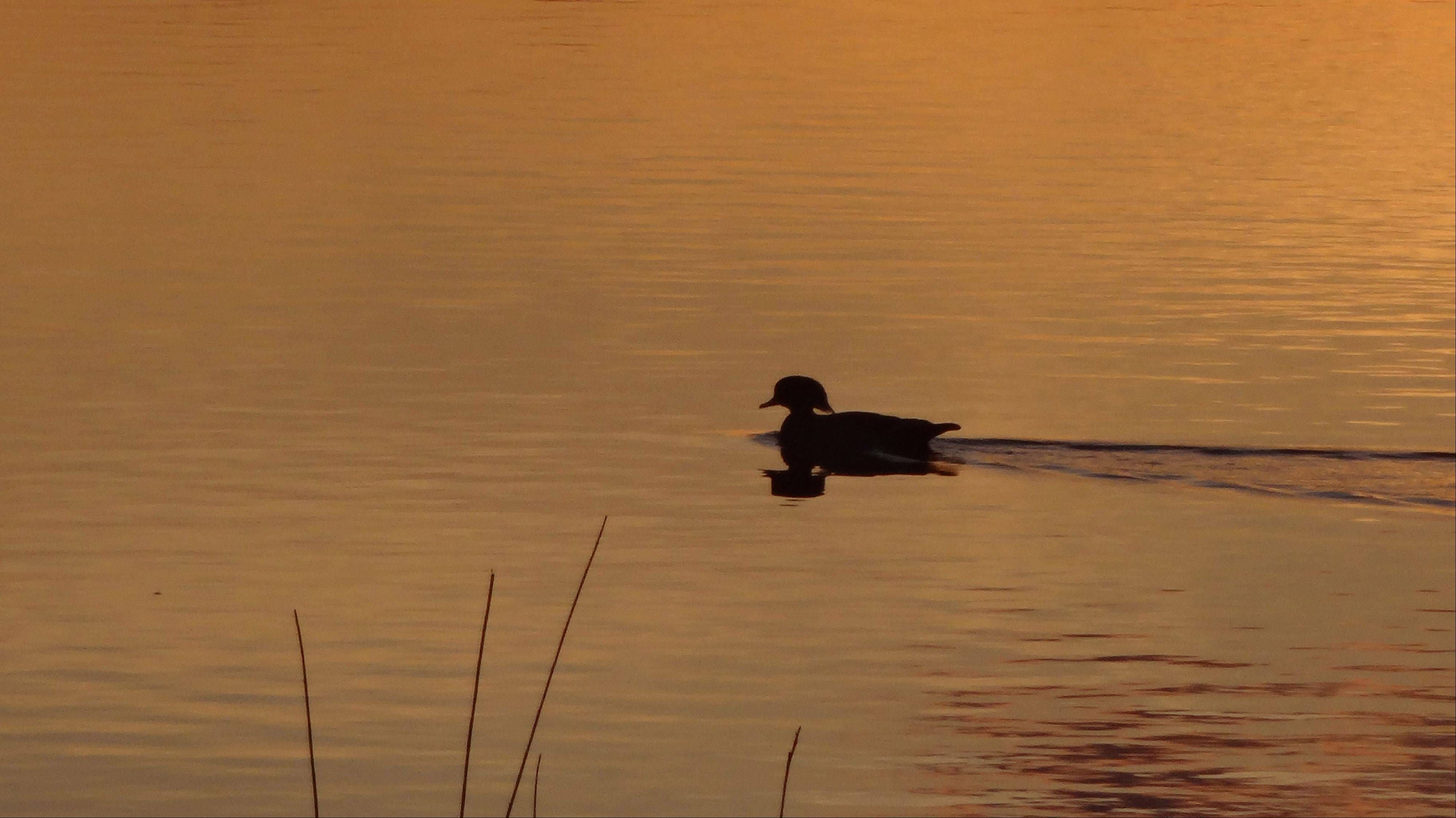 A wood duck swims at sunset on Cuba Marsh Pond near Lake Zurich.
