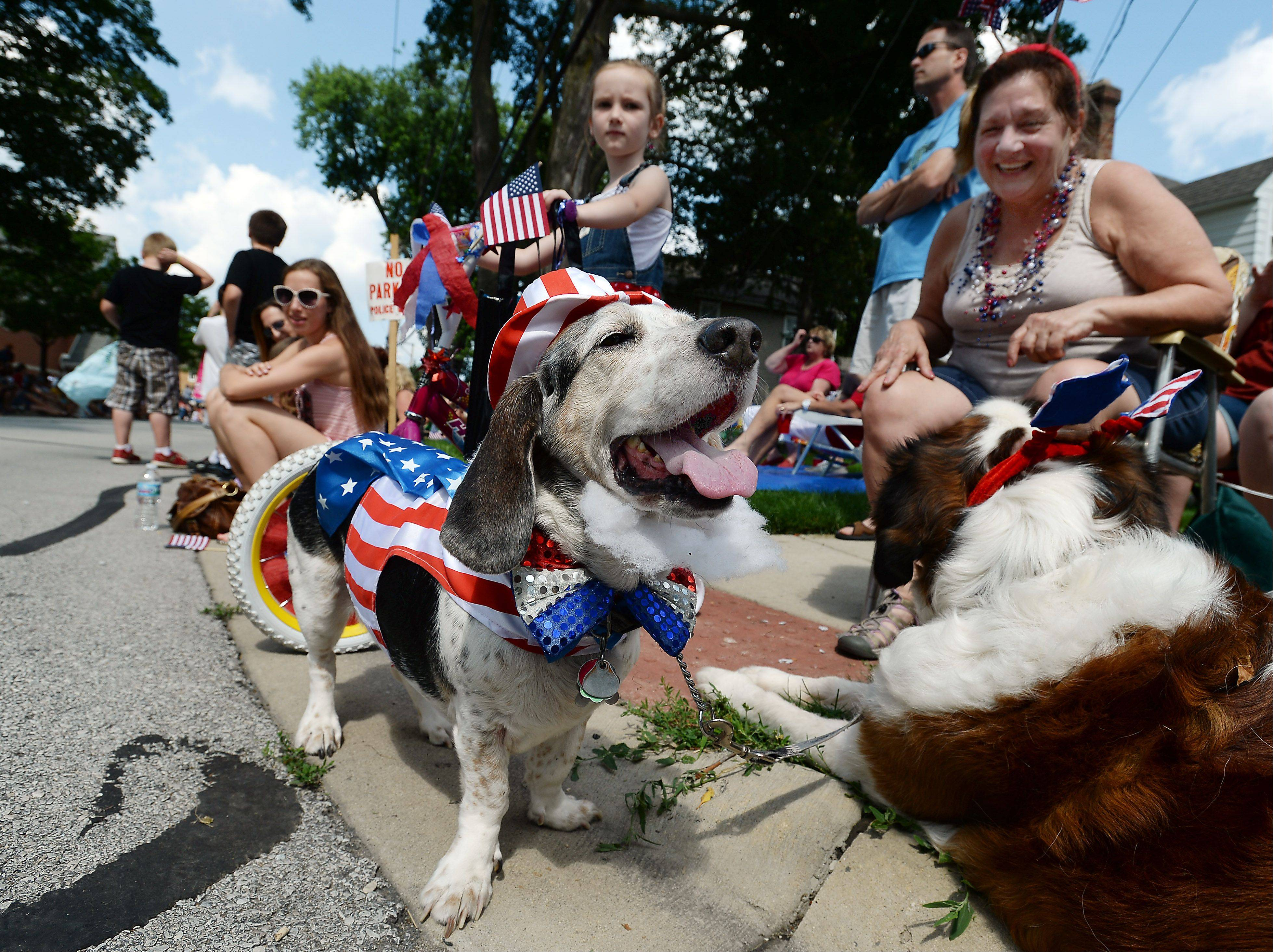 Murphy, a beagle-basset mix, sports his red, white and blues as his owner Lindsay Schubel gets a laugh during the Palatine Fourth of July parade on Saturday.