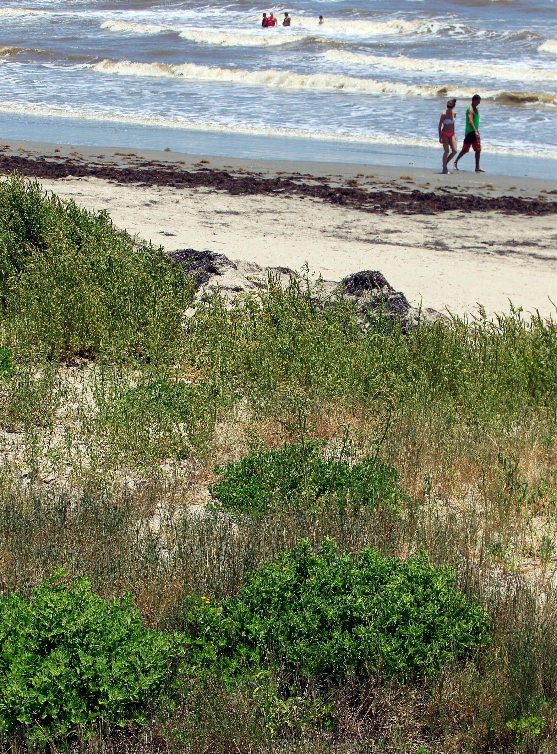 Beachgoers walk along the beach near 17th Street in Galveston, Texas, where dunes built from scraping seaweed off the beach support a variety of vegetation. The Park Board of Trustees voted unanimously to support projects that will create ìseaweed-enhanced sand dunesî on the island.