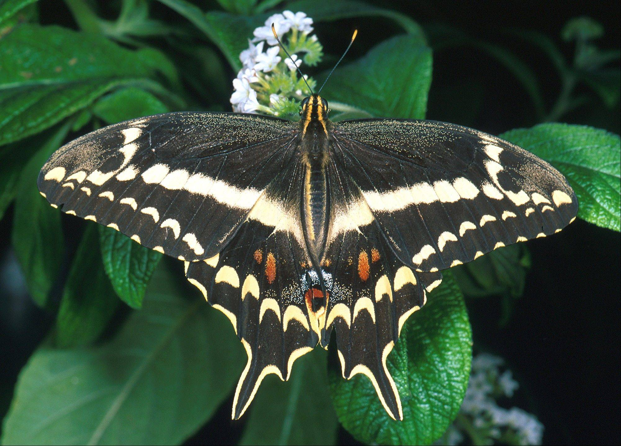The U.S. Fish and Wildlife Service recently announced that two brown, moth-like butterfly subspecies are likely extinct in south Florida, which some entomologists say is ground zero for the number of butterfly species on the verge of annihilation. At least one species of butterfly has vanished from the United States, along with the two subspecies in Florida. Seventeen species and subspecies are listed as endangered nationwide, and two are listed as threatened.