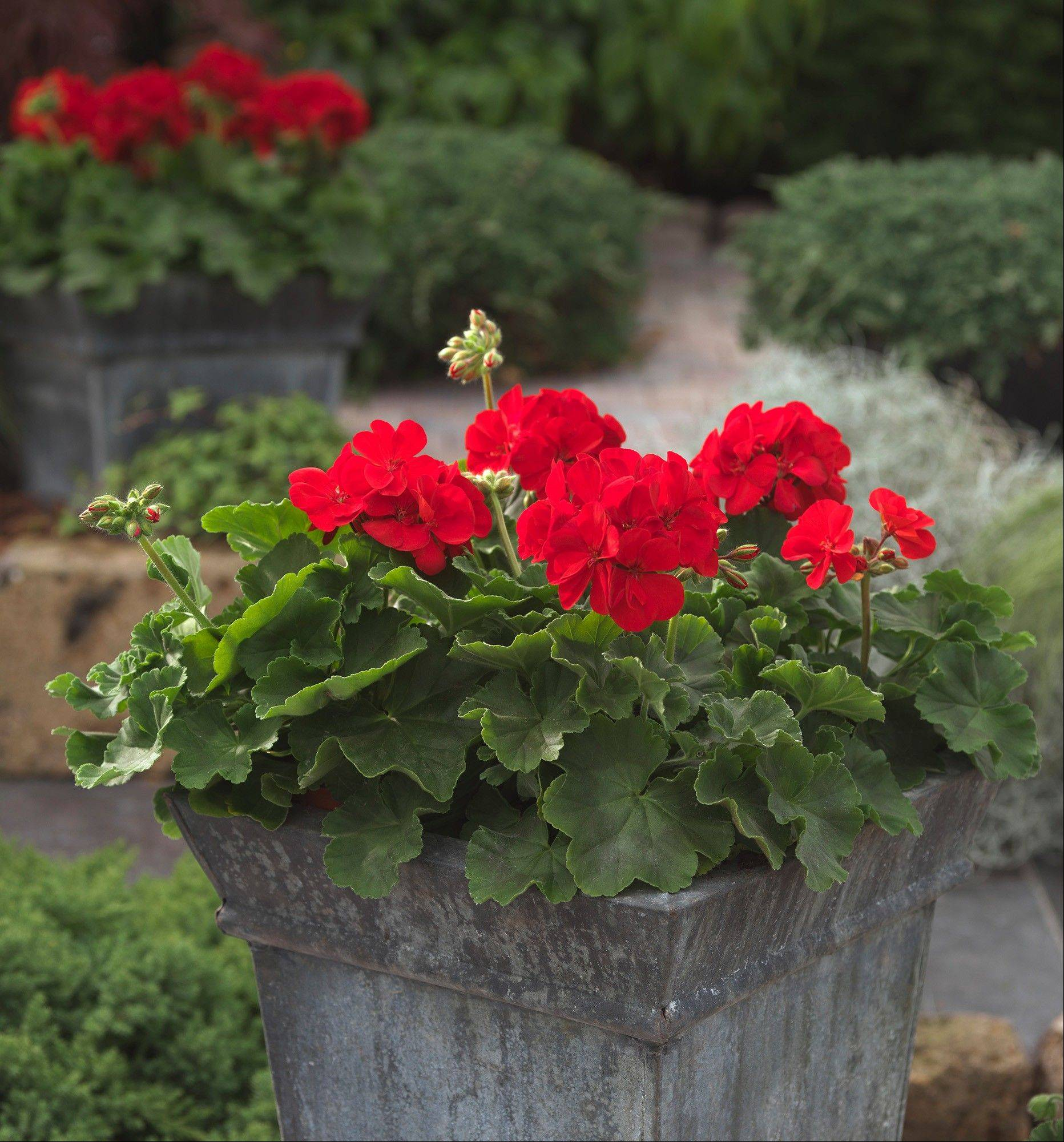 Syngenta's breakthrough Calliope Dark Red Geranium, a variety you can recognize from quite a distance.