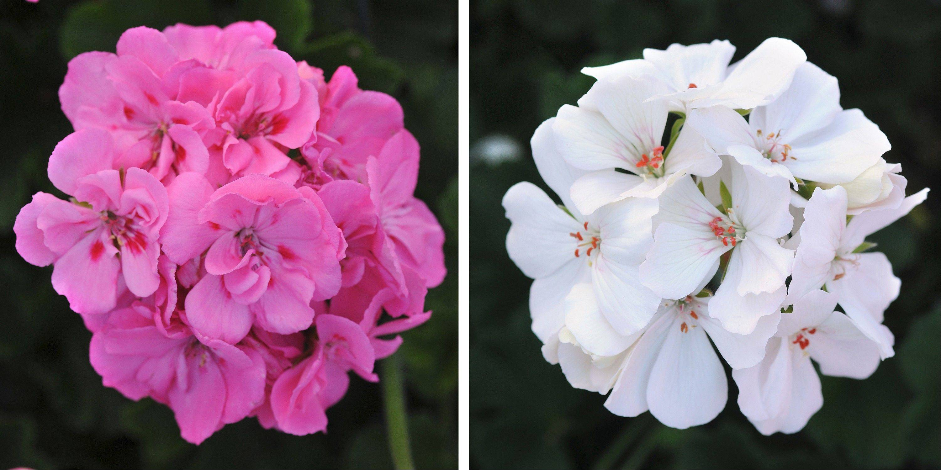 Left, Ball Horticultural's Double Take Pink Plus Eye; right, Ball Horticultural's Double Take White; Ball and other companies are part of a huge global industry of plant breeders, propagators, growers and retailers that have tapped into consumer interest in container gardening.