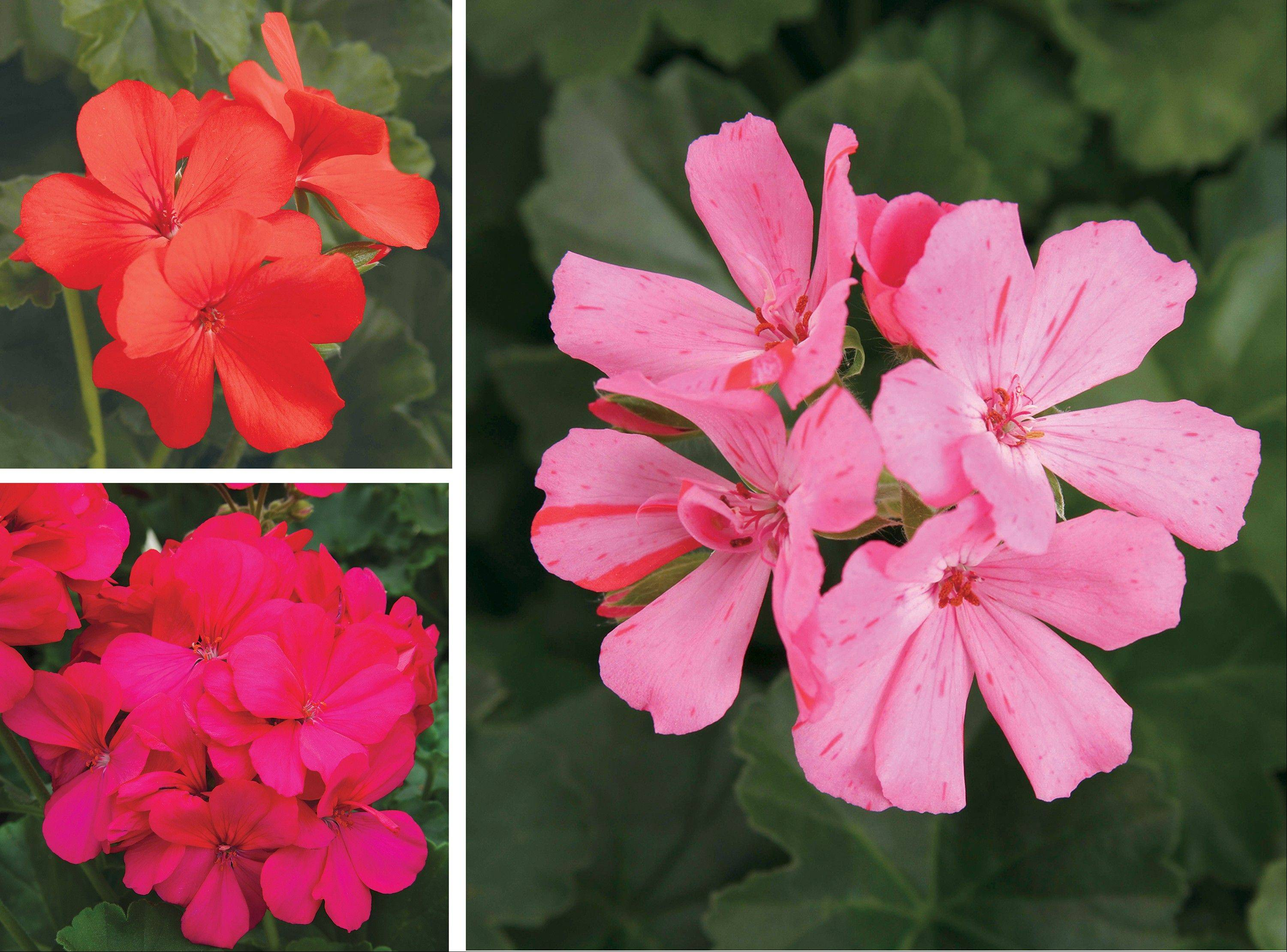 There are new reasons to like geraniums -- new colors, forms and better blooms. New geranium varieties for next year from Proven Winners: Timeless Orange (top left); Boldly Hot Pint (bottom left); and Timeless Pink (right).