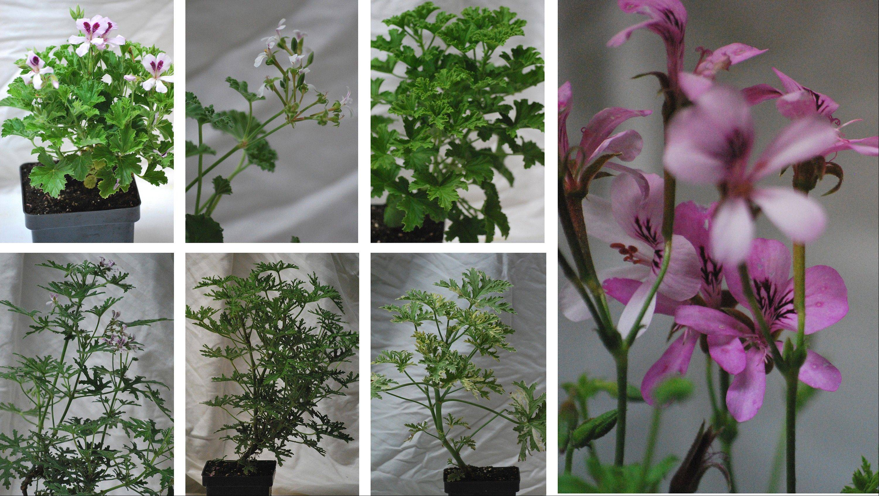 Scented geraniums are considered herbs and are less showy than ivy-leafed geraniums, with blooms that are small to minute. From left to right, top: Orange, Apple, Frensham Lemon. From left to right, bottom: Peppermint Rose, Skeleton Rose, Grey Lady Plymouth. Far right: Strawberry.