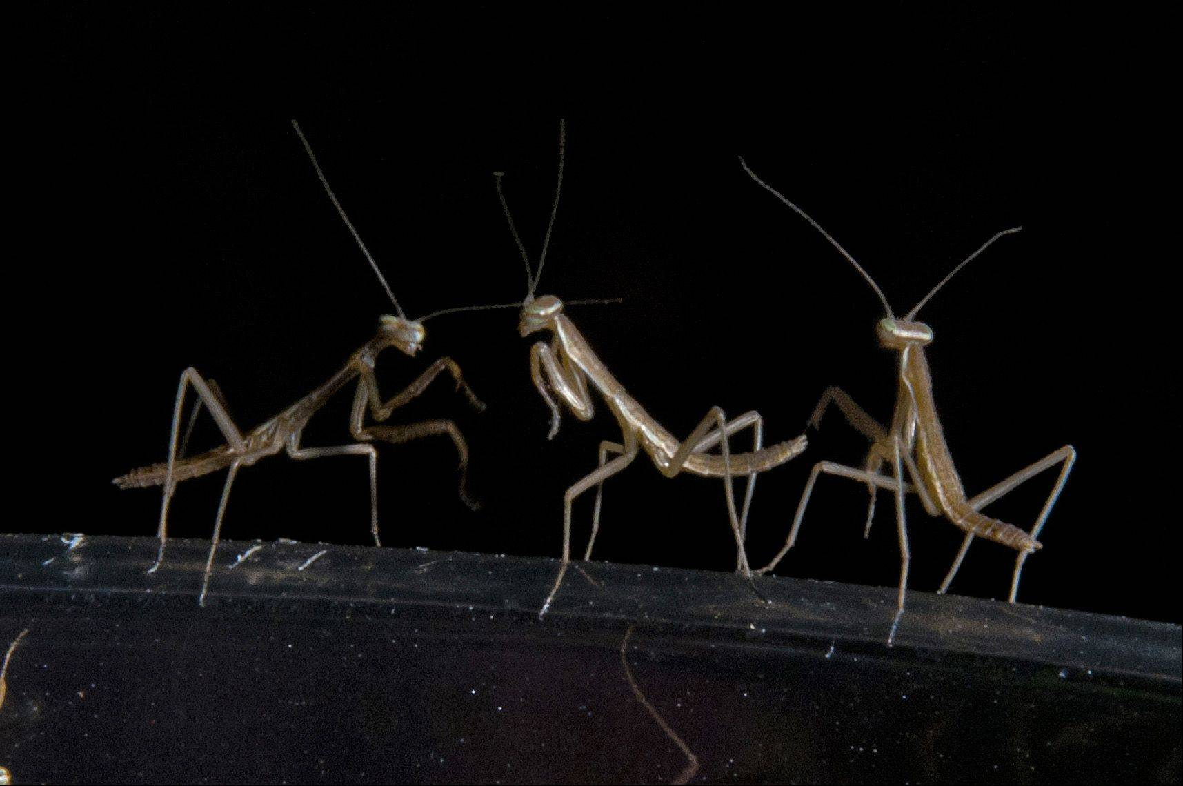 Ken Busse of Wheaton captured this image after releasing hundreds of praying mantises hatched from two cocoons.