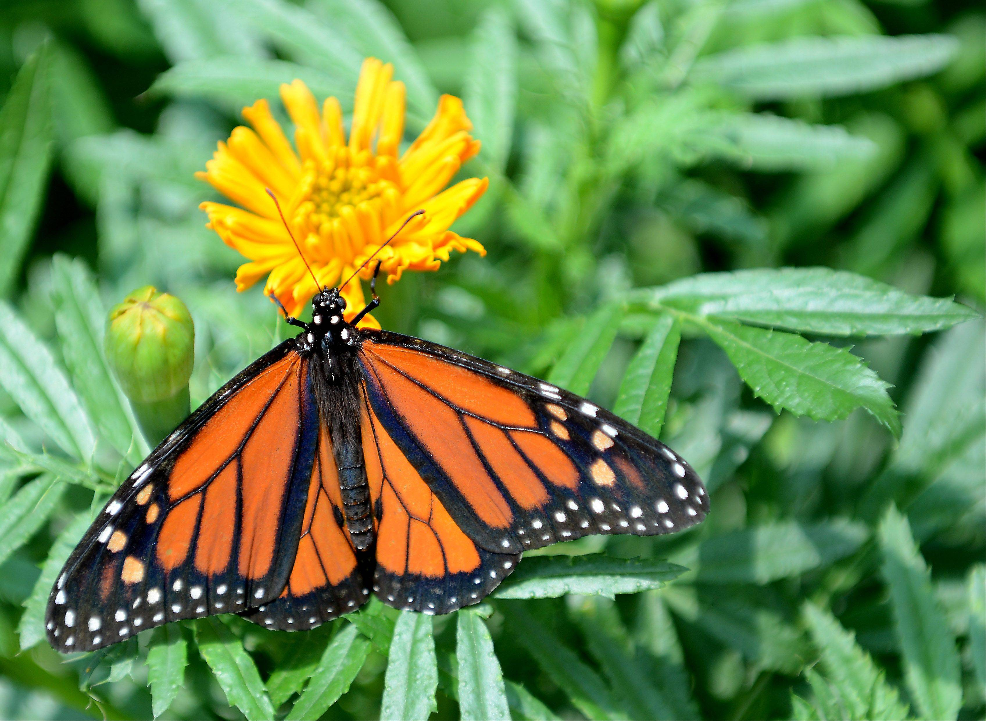 A monarch butterfly soaks up the sun and nectar at the Peck Farm Park Butterfly House in Geneva.