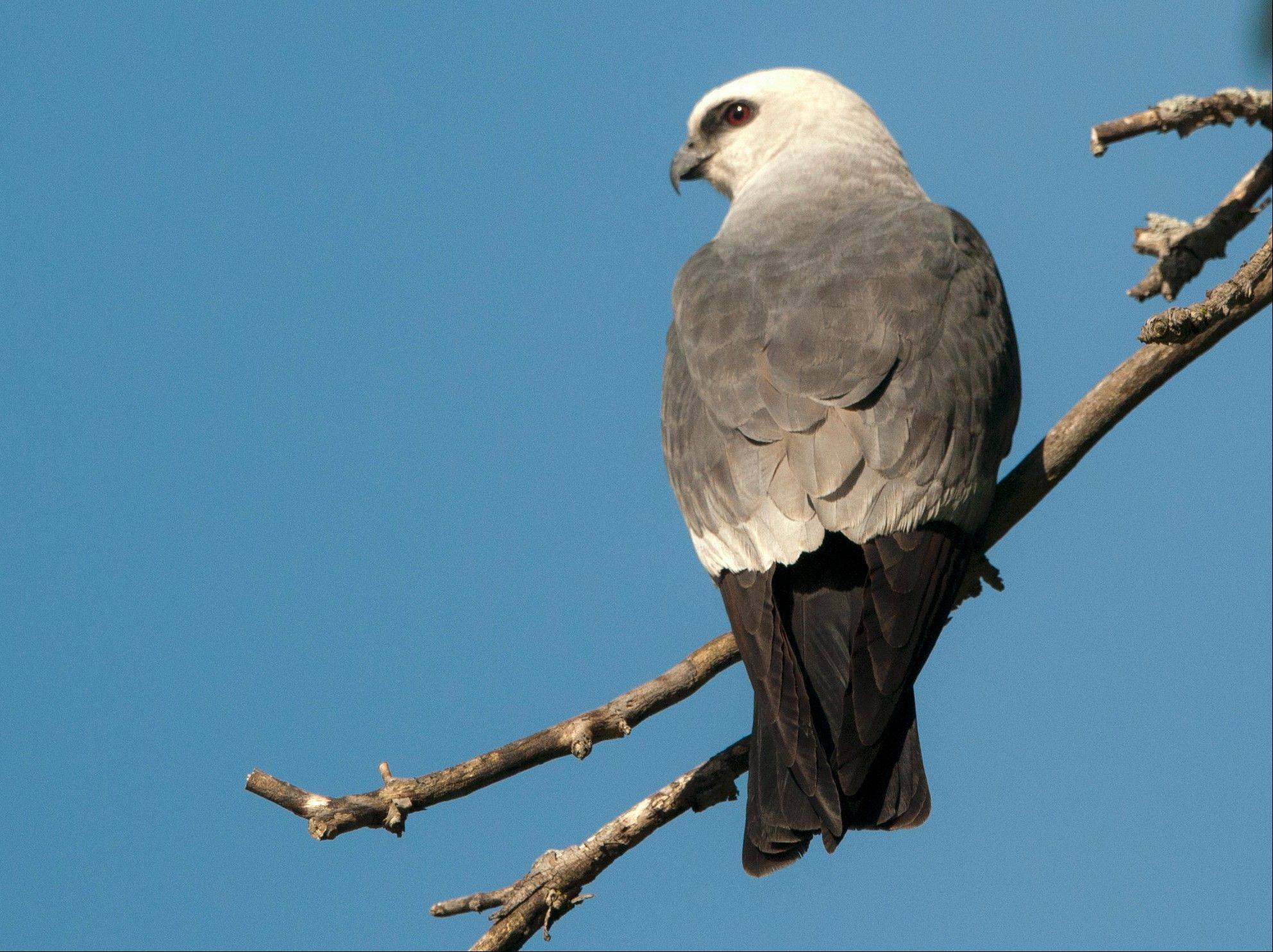 This Mississippi kite was photographed in the Rockford neighborhood where kites have returned for six consecutive years. Rockford is well north of the raptor's traditional breeding range.