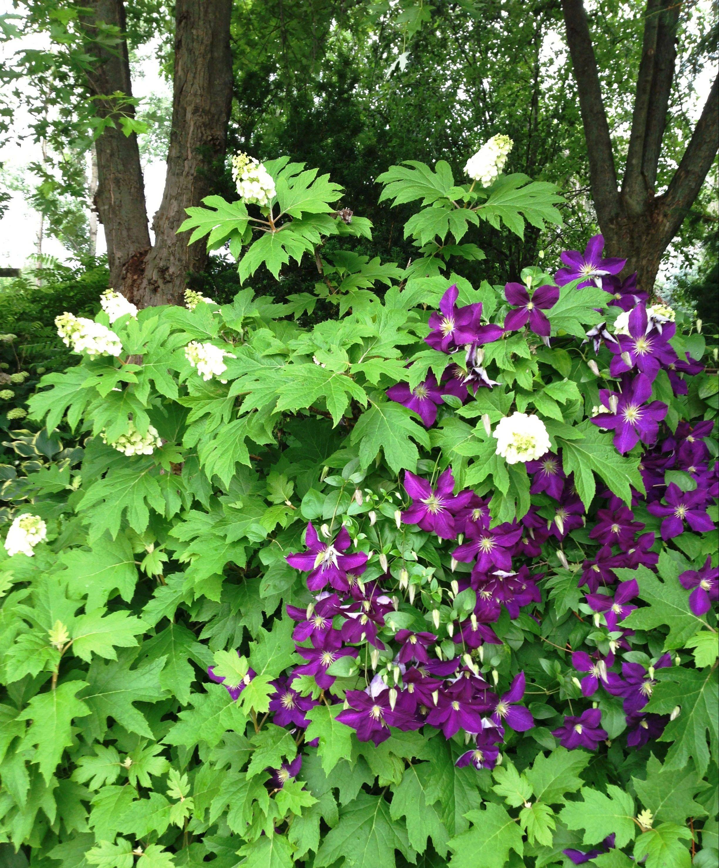 A clematis climbs the stems of an oakleaf hydrangea and puts on quite a show.