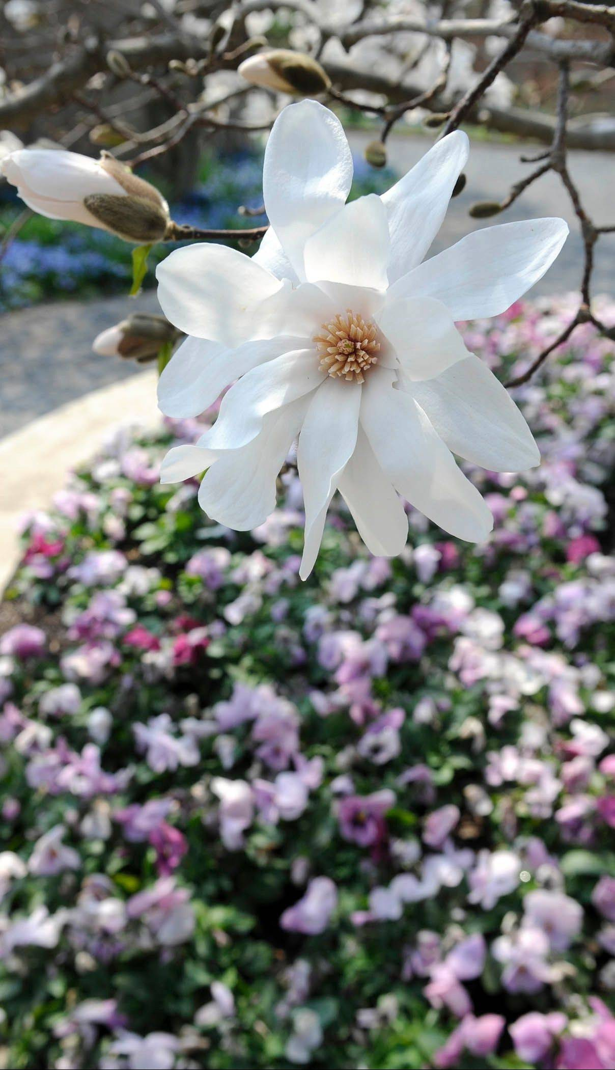 A magnolia in full bloom at the Chicago Botanic Garden. Magnolia trees can be weakened by scale, an insect that exudes a clear honeydew, which allows a fungus to grow on the bark.