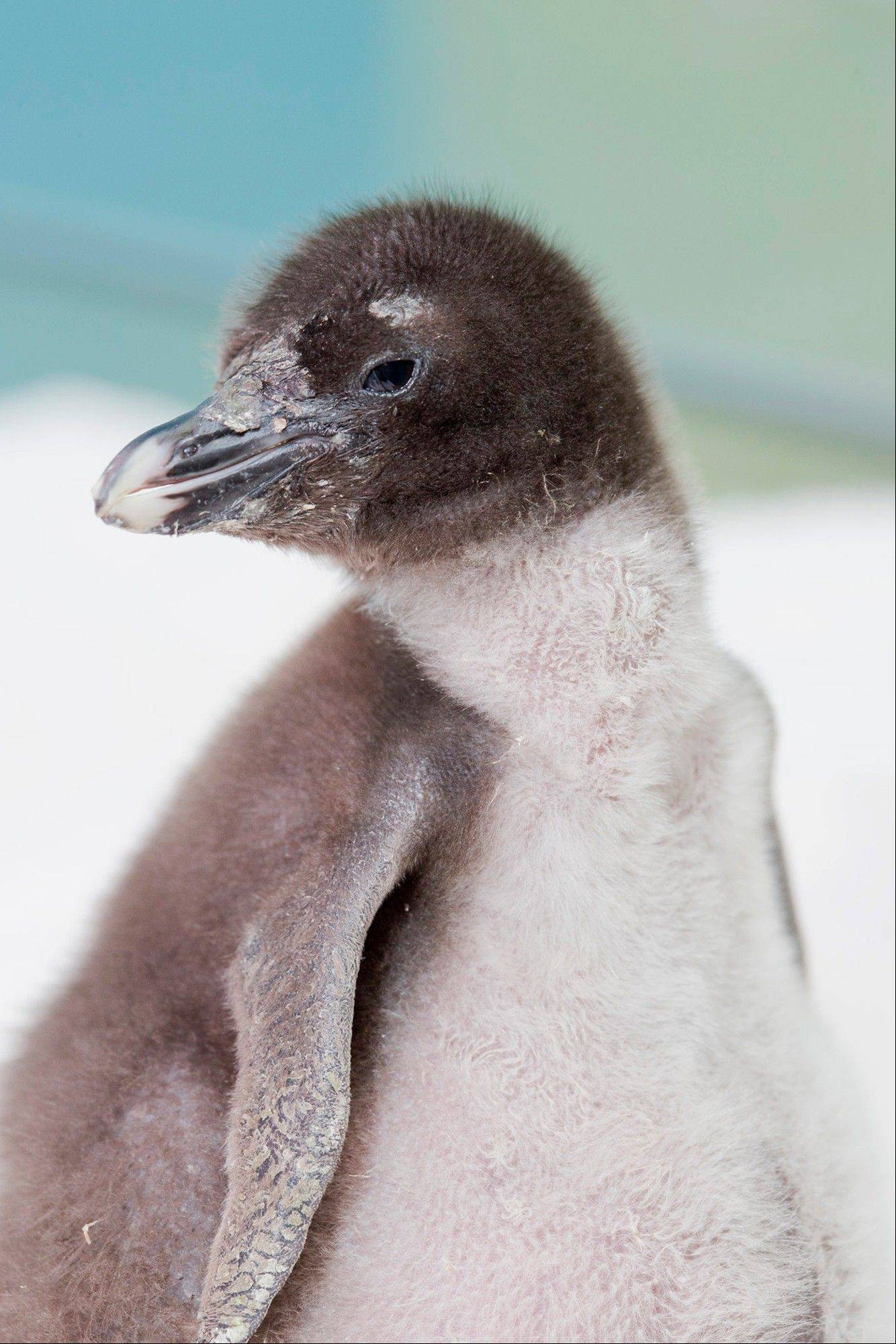 This June 18, 2013, photo provided by the Shedd Aquarium in Chicago shows a rockhopper penguin chick that was hatched at the aquarium on June 12, 2013. The baby bird is nesting with its parents at the aquarium. Shedd experts say the chick weighed 75 grams when it was born and is gaining about 40 grams every day. The chick's gender hasn't been determined yet. Shedd Aquarium is involved in several penguin rescue efforts.