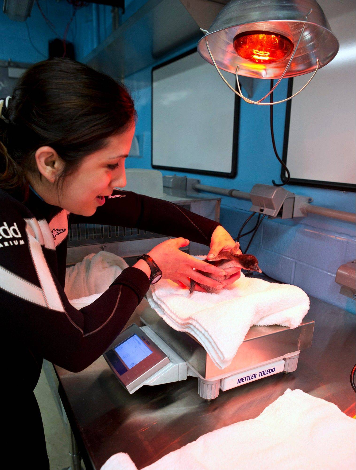 This June 18, 2013 photo provided by the Shedd Aquarium in Chicago shows marine mammal trainer Christi Sterling checking the weight of a rockhopper penguin chick that was hatched at the aquarium June 12, 2013. Shedd animal care workers are observing and weighing the chick daily. The chick weighed 75 grams when it was born and is gaining about 40 grams every day. The chick's gender hasn't been determined yet.