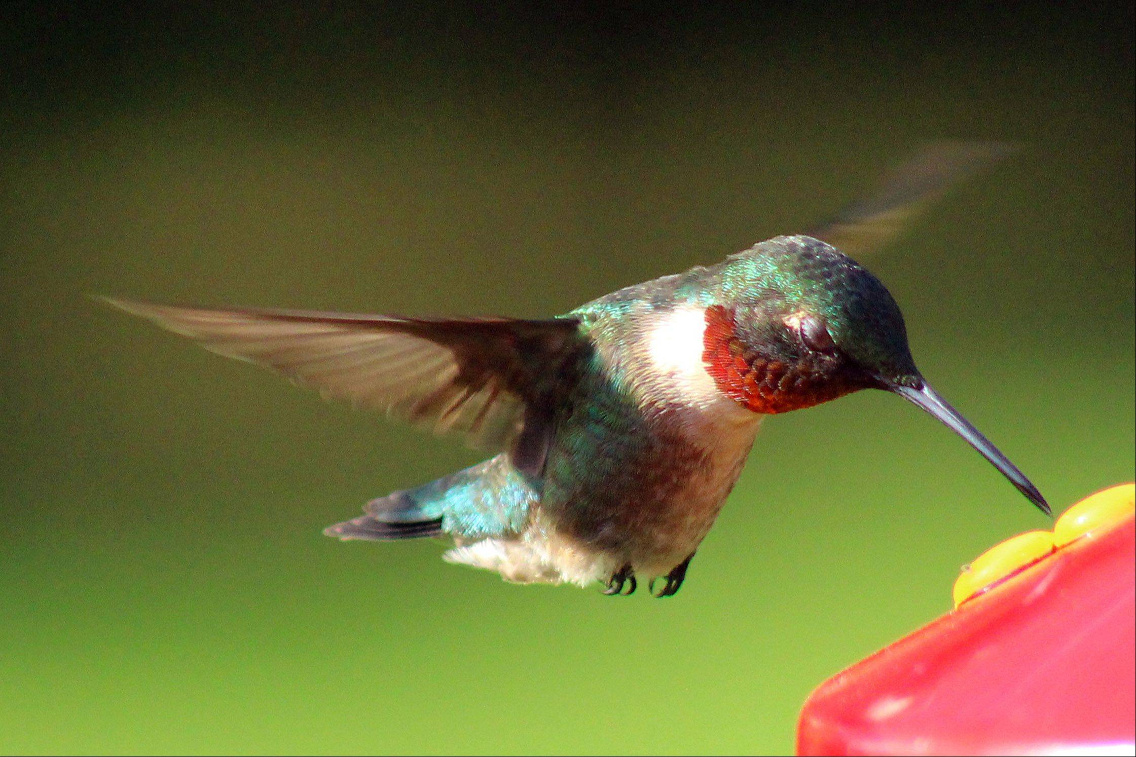 A hummingbird feeds in a Gurnee backyard.