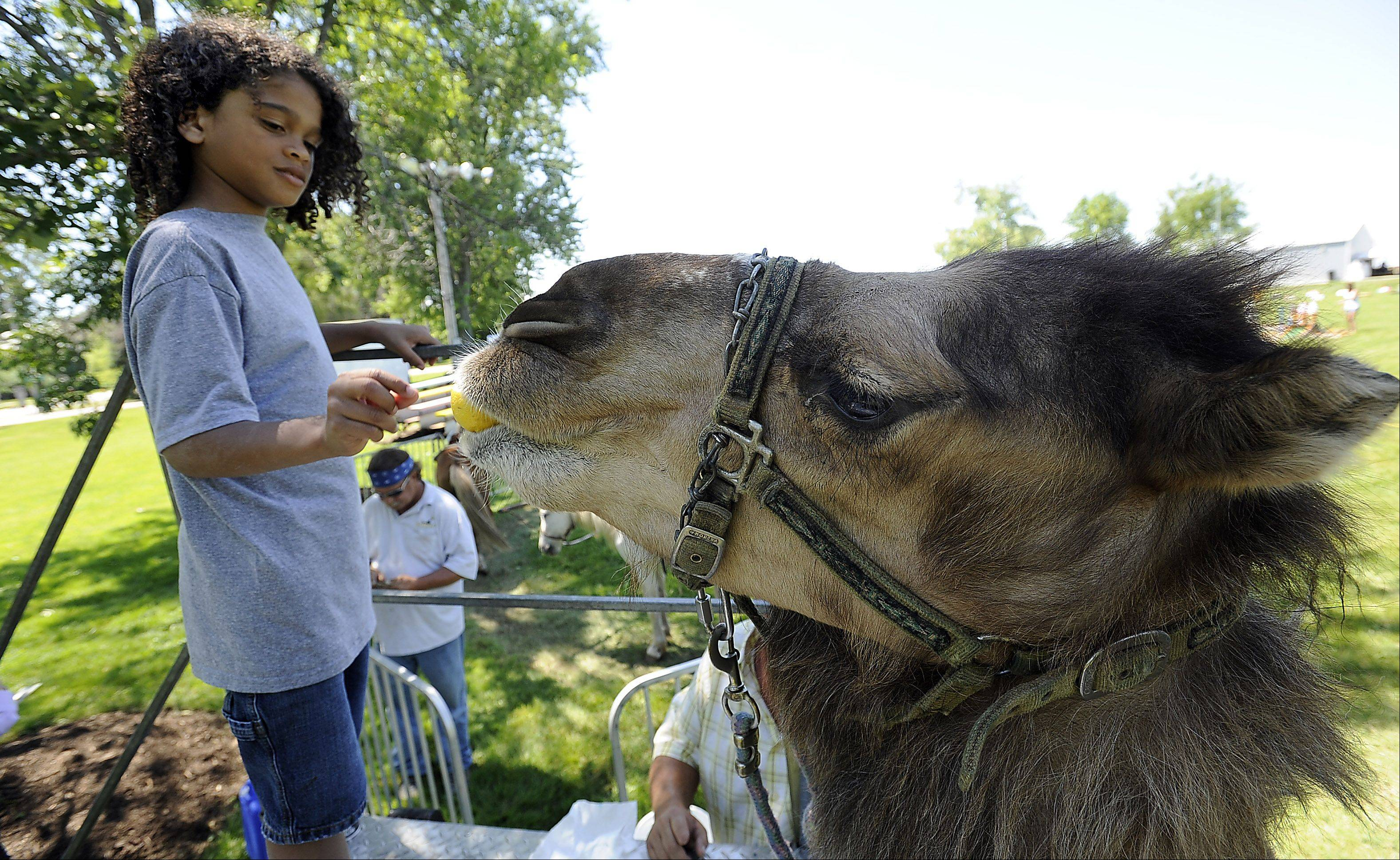 Matthew Marotta, 7, of North Chicago got a rare chance to feed Charley the camel a lemon, which camels love to eat, at the Grandwood Park Summerfest on Saturday.