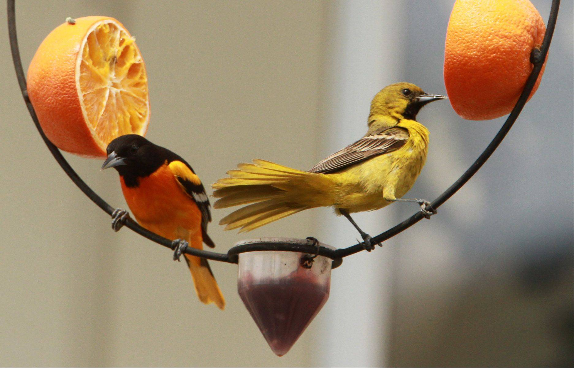 A male Baltimore oriole, left, and a male orchard oriole eat from orange halves and a dish filled with jelly on a ring feeder set up in Lori Sweeny's backyard in Mundelein.