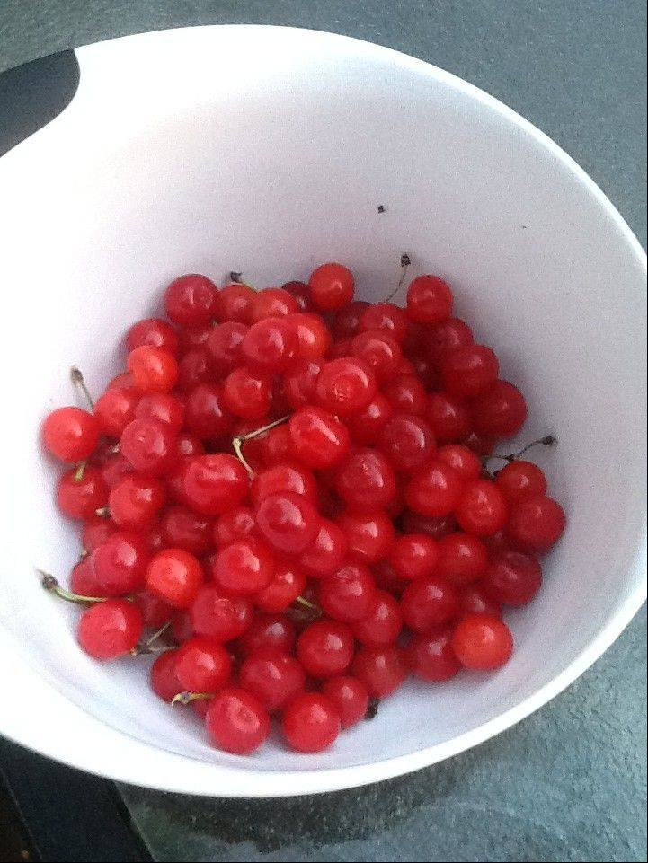 Sour cherries normally ripen later than sweet cherries.