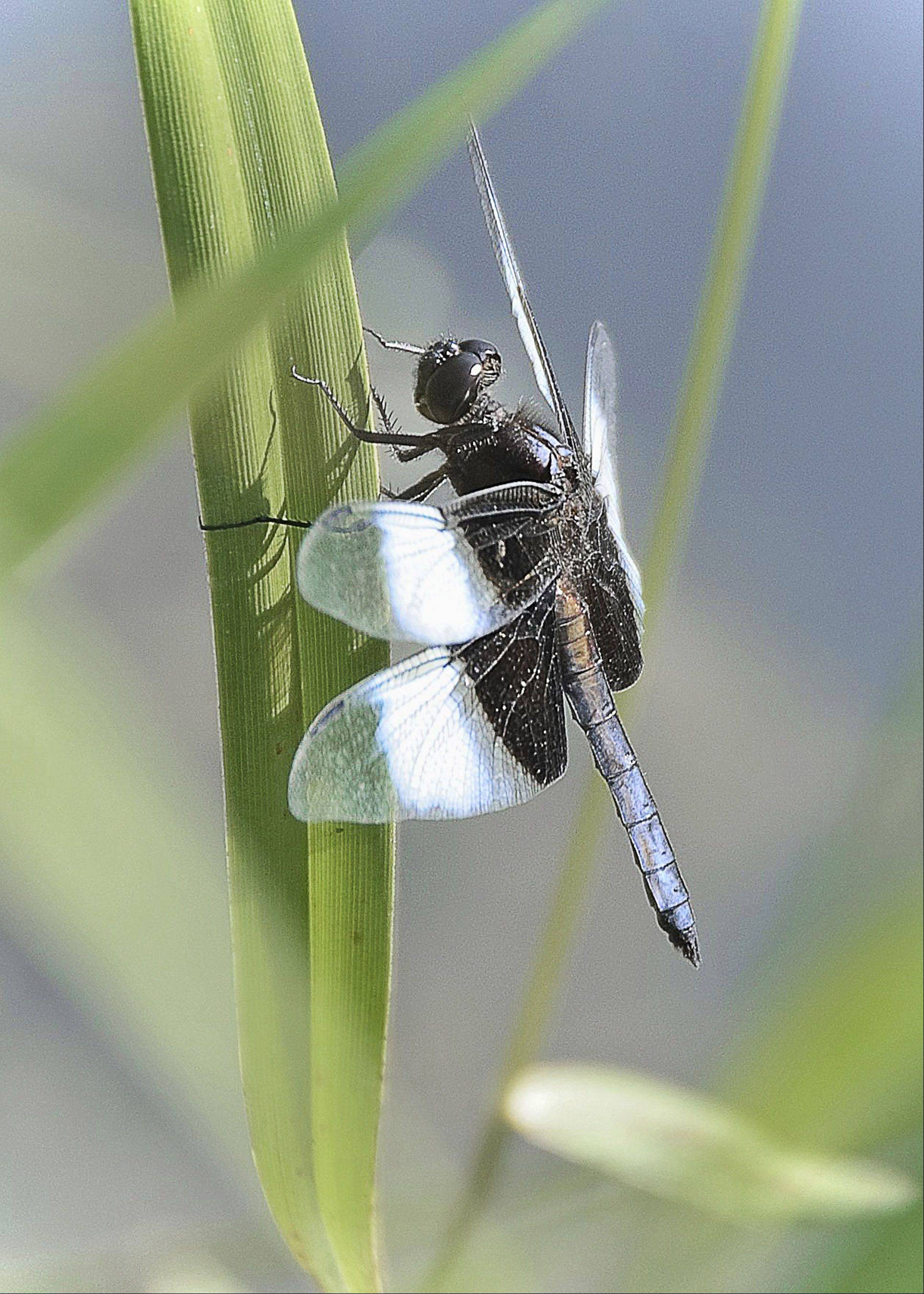 This photo was taken this past week at the Lake in the Hills fen. Delicate in design and dressed in a variety of colors, dragonflies have always caught my eye. The pastel appearance added to the softness of the shot.