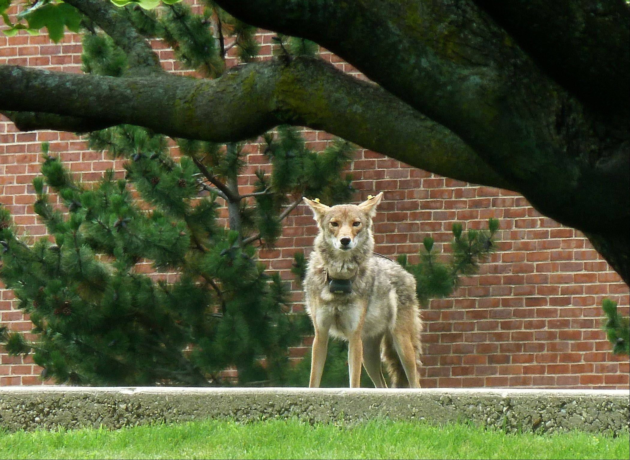 A coyote is out for an afternoon stroll at Cooper Middle School in Buffalo Grove on Saturday, June 29. The coyote is being tracked by a collar device and ear tags.