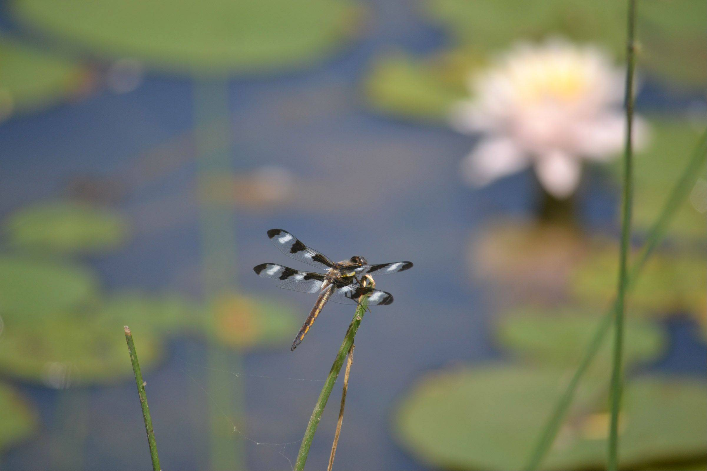 A dragonfly sits on a reed last week at the Bristol Renessance Faire in Wisconsin.