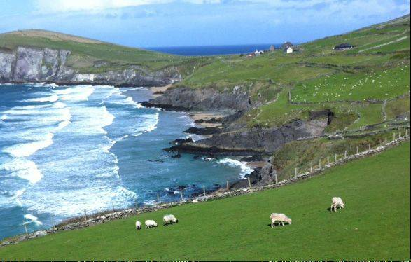 Surf and turf on the Dingle peninsula, Ireland.