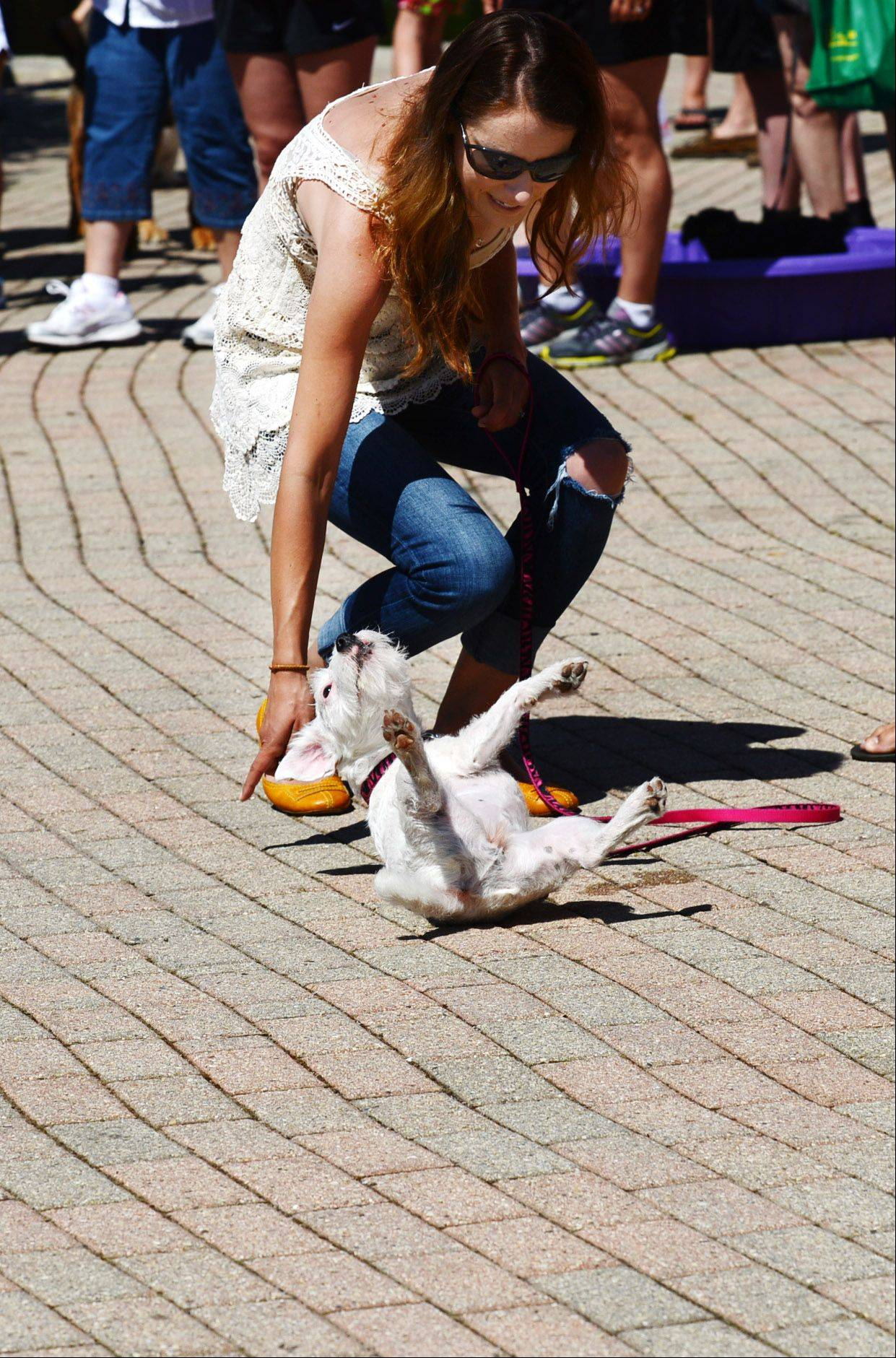 Aspen, a 1-year-old Jack Russell Terrier, rolls over for owner Jenny Bradley of Batavia at the Windmill City Festival on Saturday.