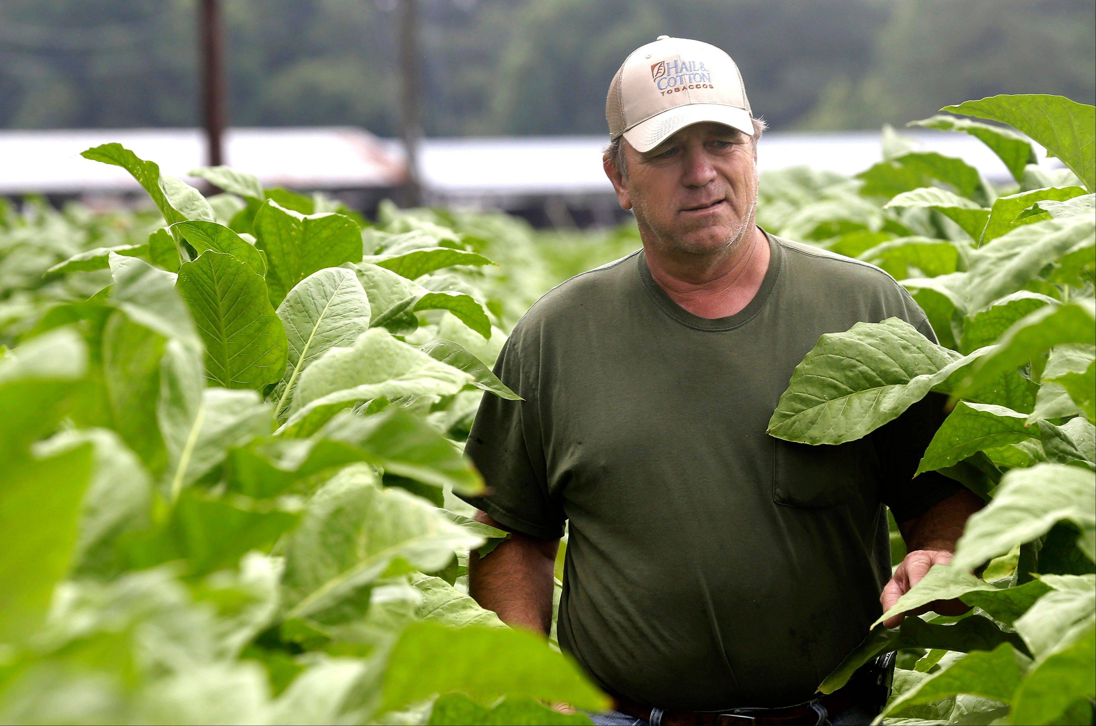 Harnett County farmer Kent Revels inspects one of his tobacco fields Friday in Fuquay Varina, N.C. Heavy rain across the nation�s tobacco-growing territories has soaked the dry weather-loving plants to the point that many can�t be saved.
